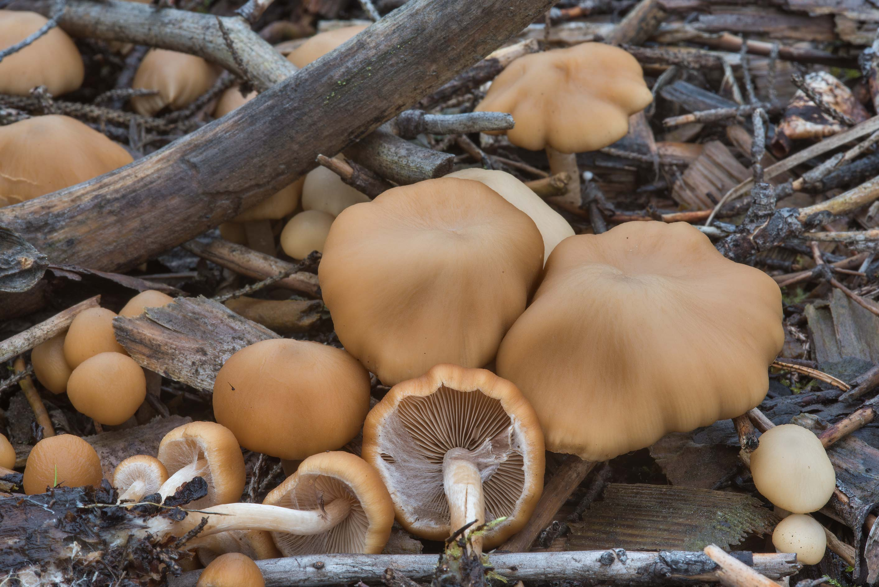 Common stump brittlestem mushrooms (Psathyrella...north-west from St.Petersburg. Russia