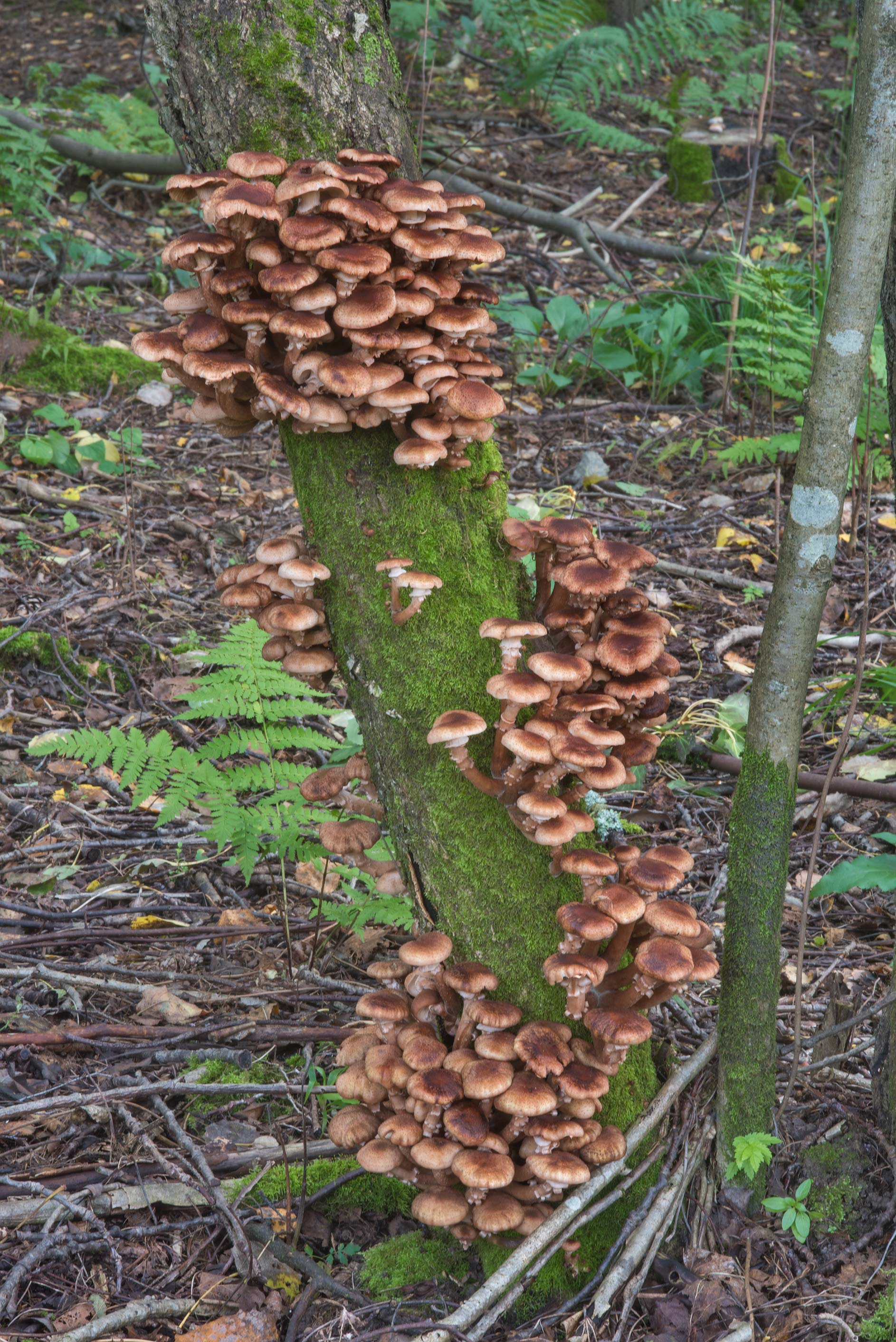 Masses of northern honey mushrooms (Armillaria...north-west from St.Petersburg. Russia