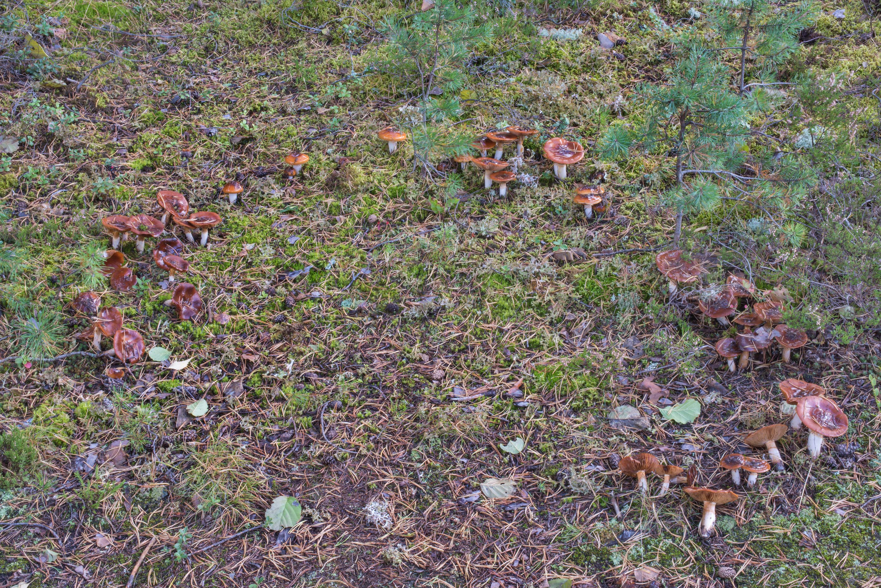 Fairy ring of orange webcap mushrooms...north from St.Petersburg. Russia
