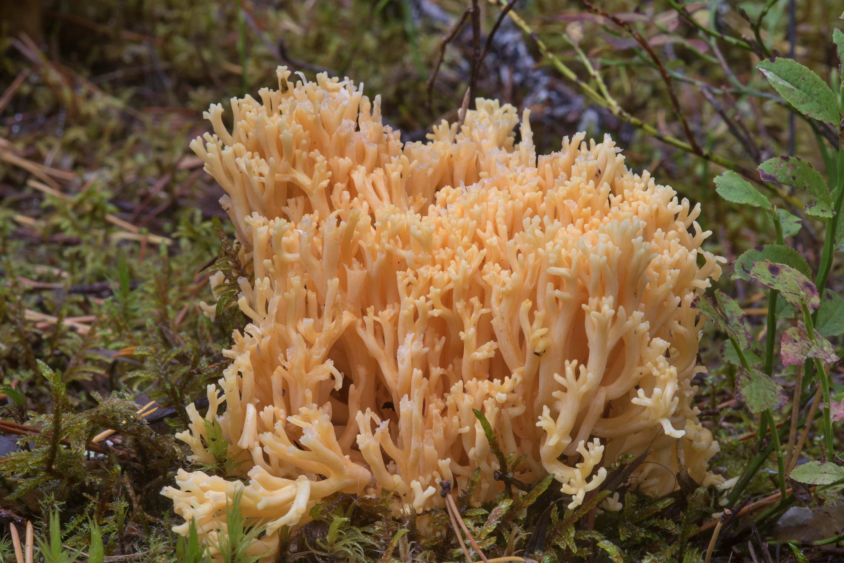 Changle mushrooms (Ramaria flava) near Lembolovo, north from St.Petersburg. Russia