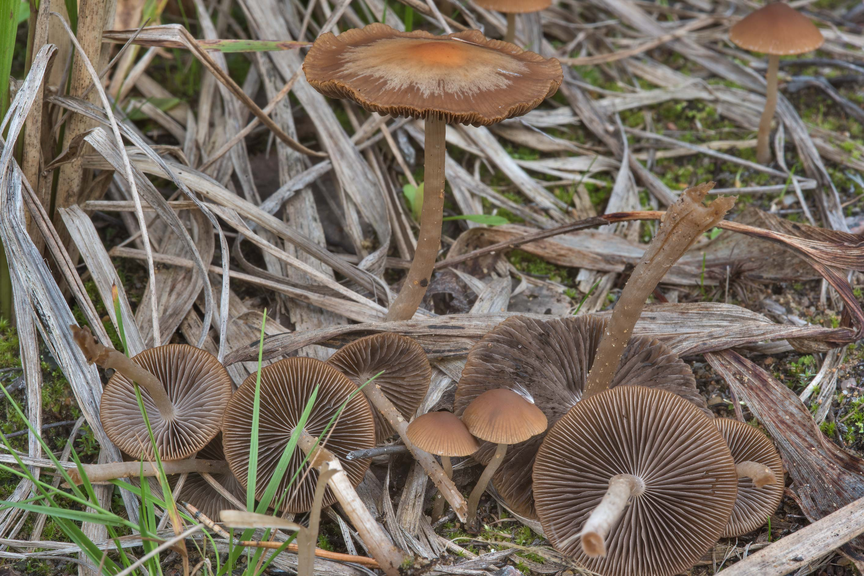 Brittlestem mushrooms Psathyrella corrugis on...north from St.Petersburg. Russia