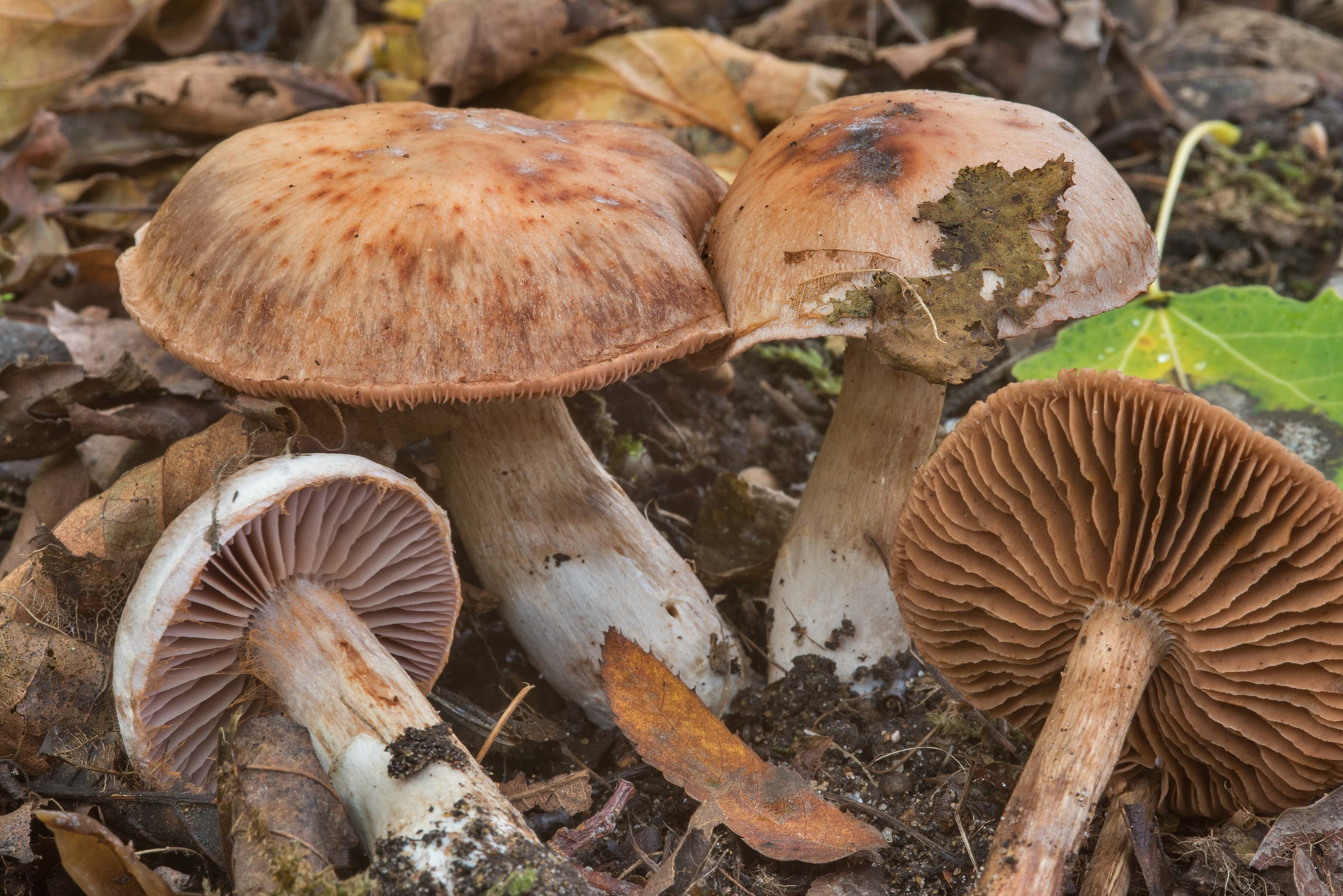 Group of some brown webcap (Cortinarius...west from St.Petersburg. Russia