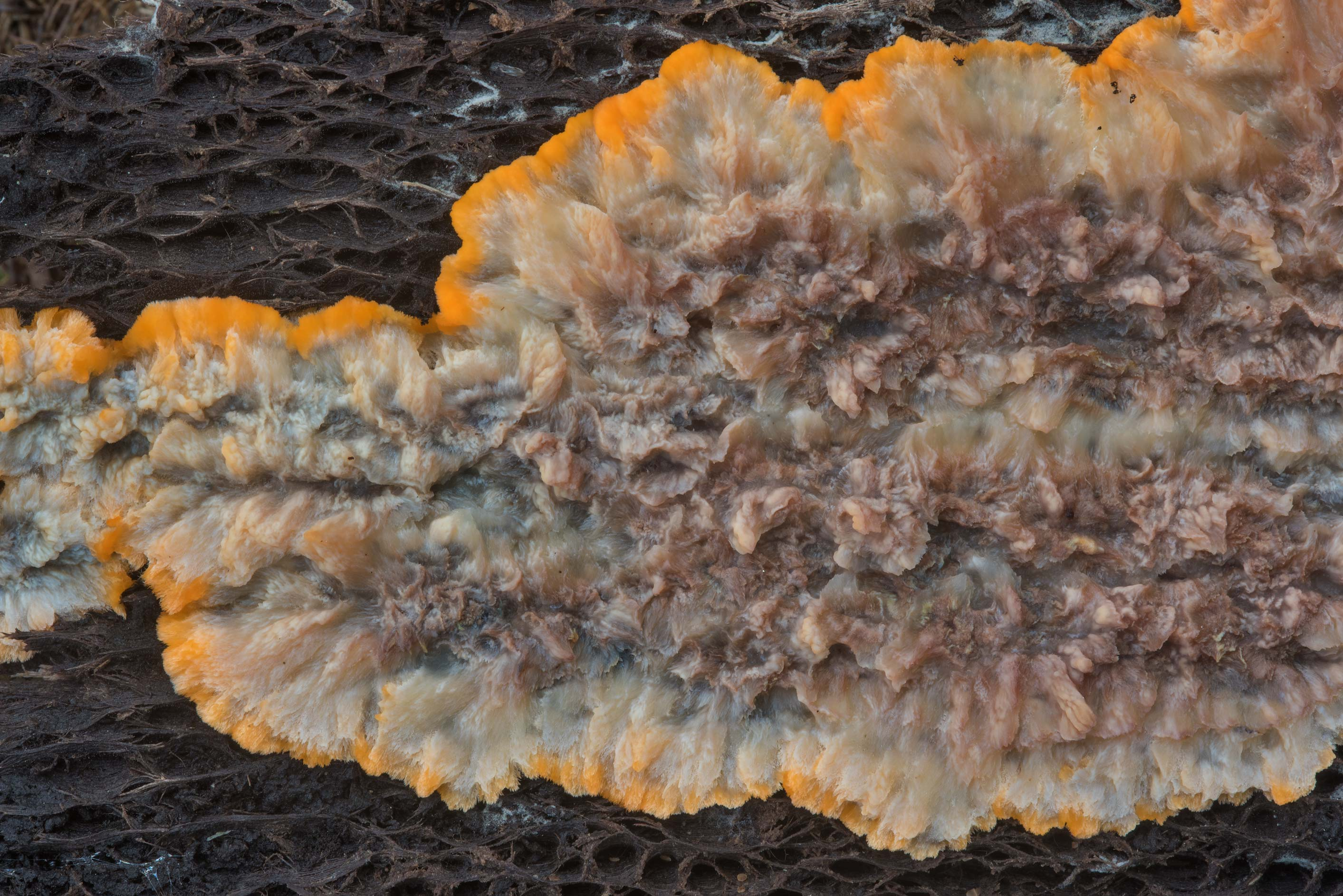 Wrinkled crust fungus (Phlebia radiata) in...west from St.Petersburg. Russia