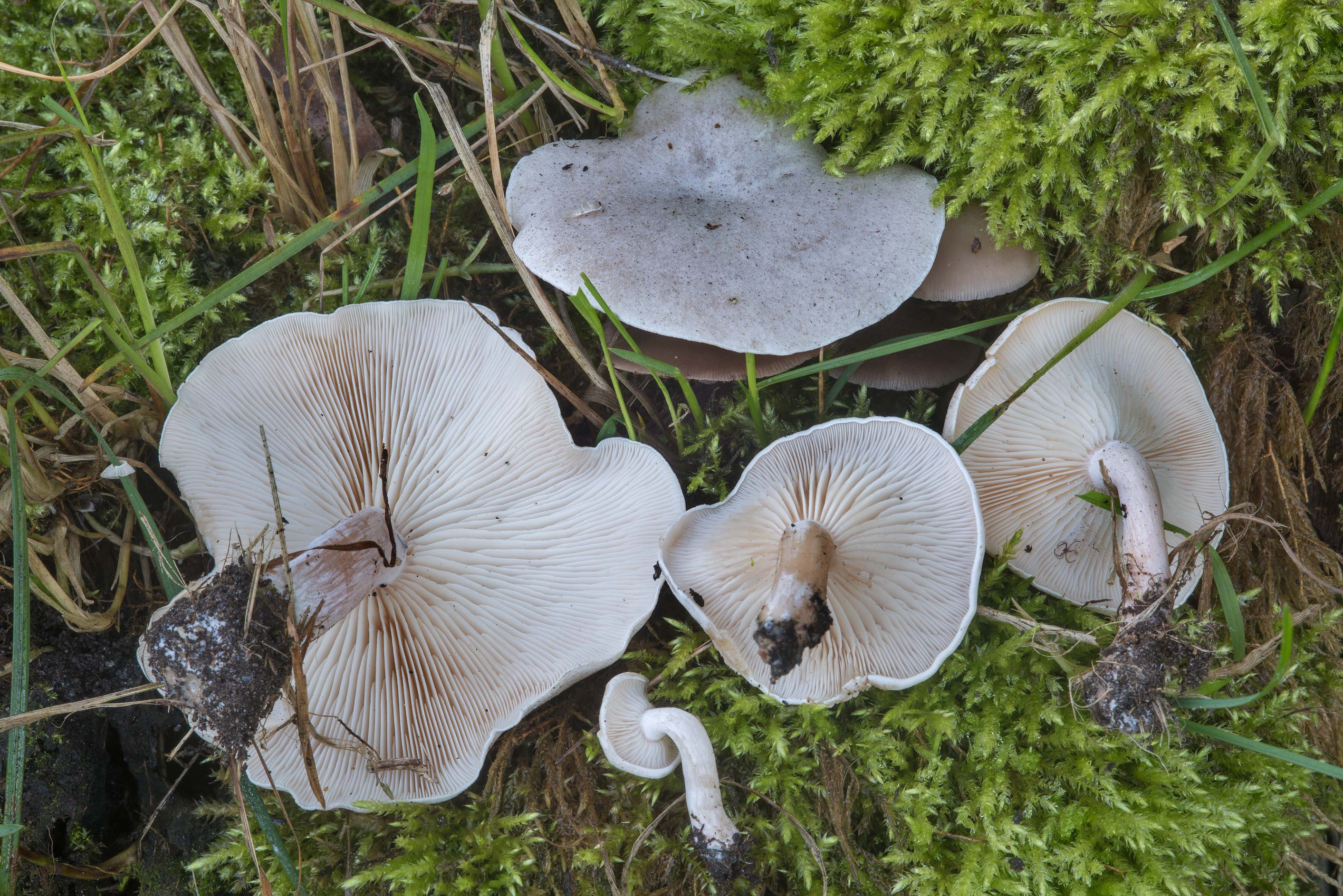 Funnel mushrooms Clitopilopsis hirneola...north from St.Petersburg. Russia