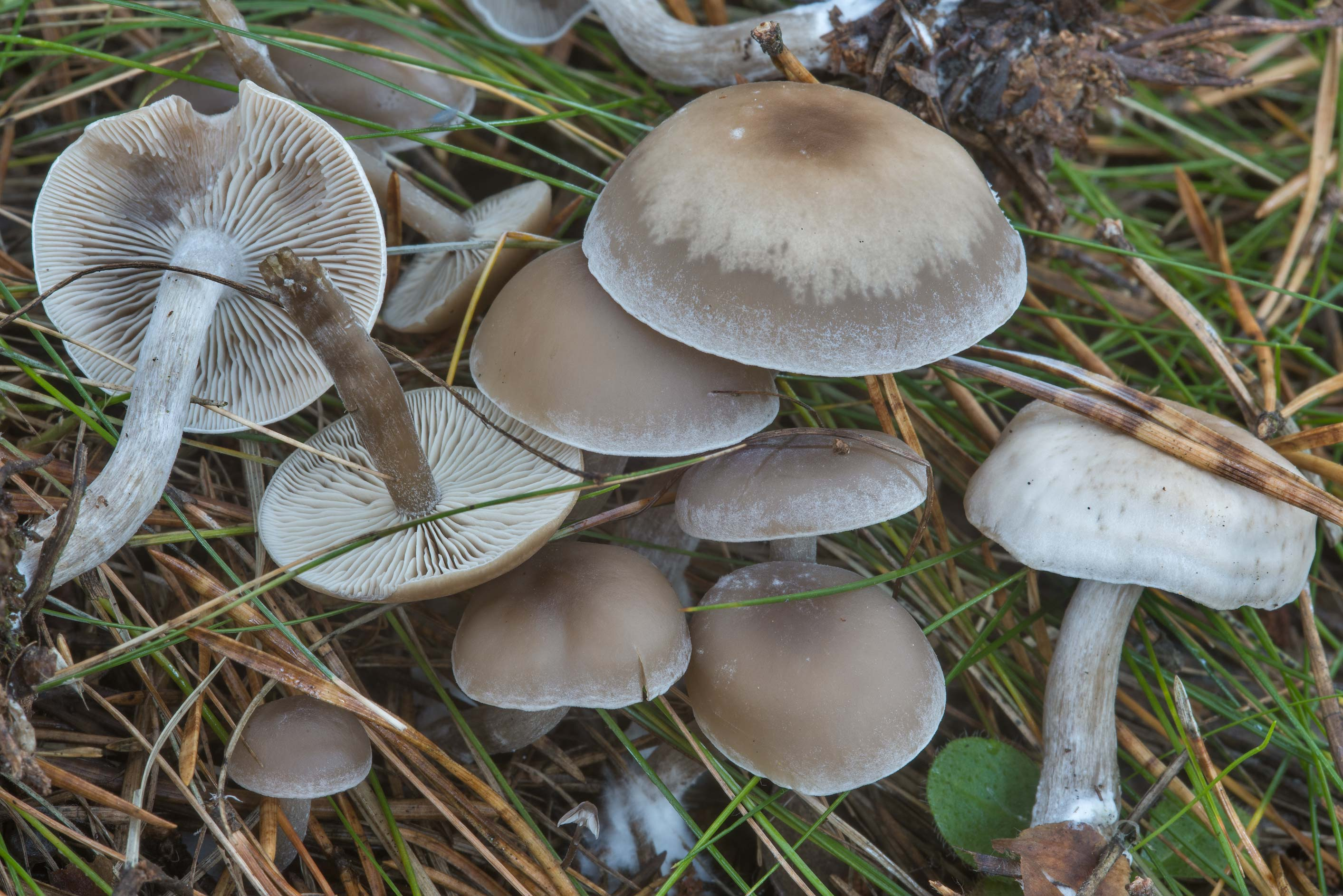 Group of twotone funnel mushrooms (Clitocybe...north from St.Petersburg. Russia