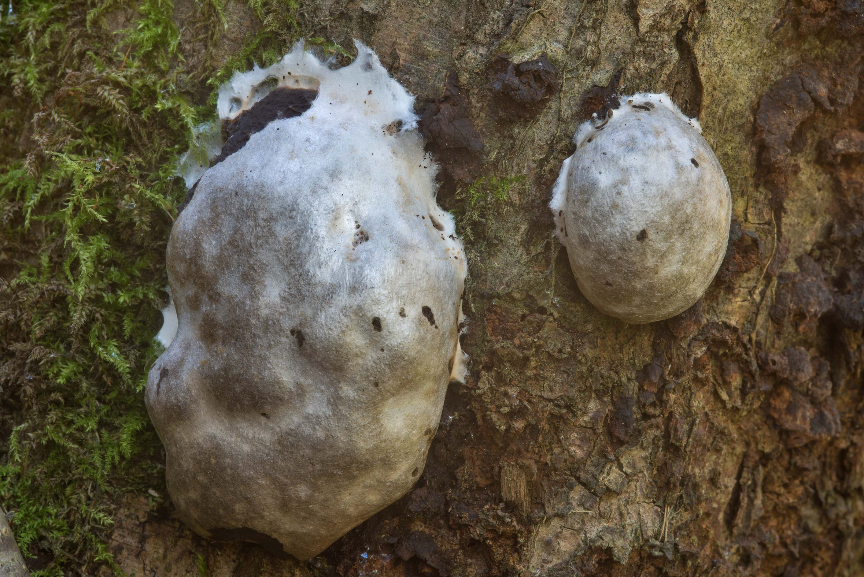 False puffball slime mold (Reticularia lycoperdon...north from St.Petersburg. Russia