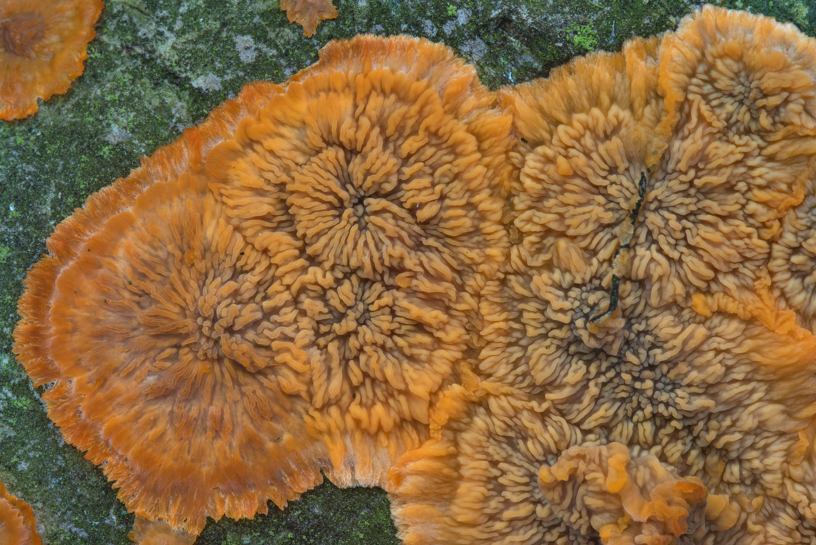 Wrinkled crust fungus (Phlebia radiata) in...a suburb of St.Petersburg. Russia