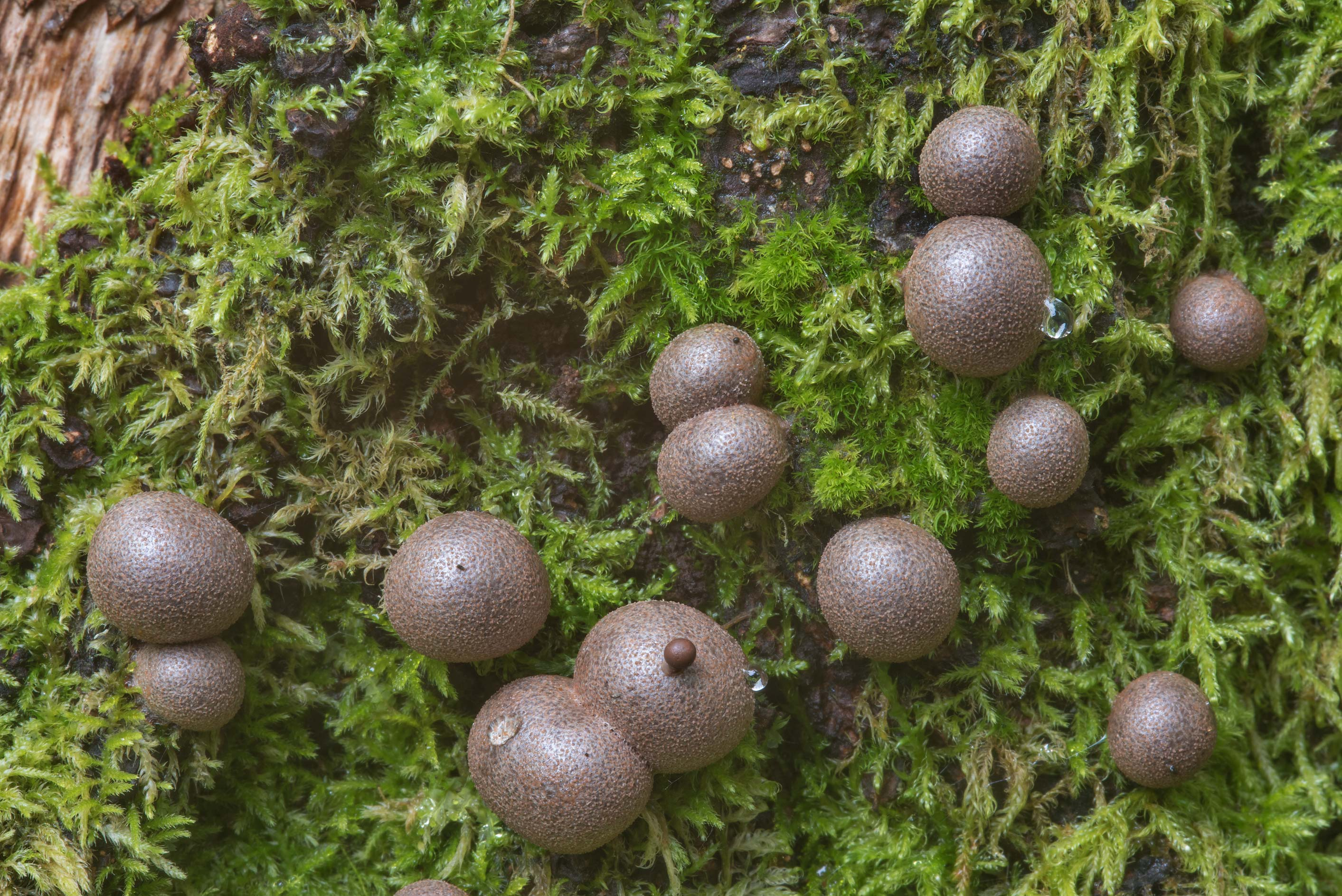 Mature wolf's milk slime mold (Lycogala...west from St.Petersburg. Russia