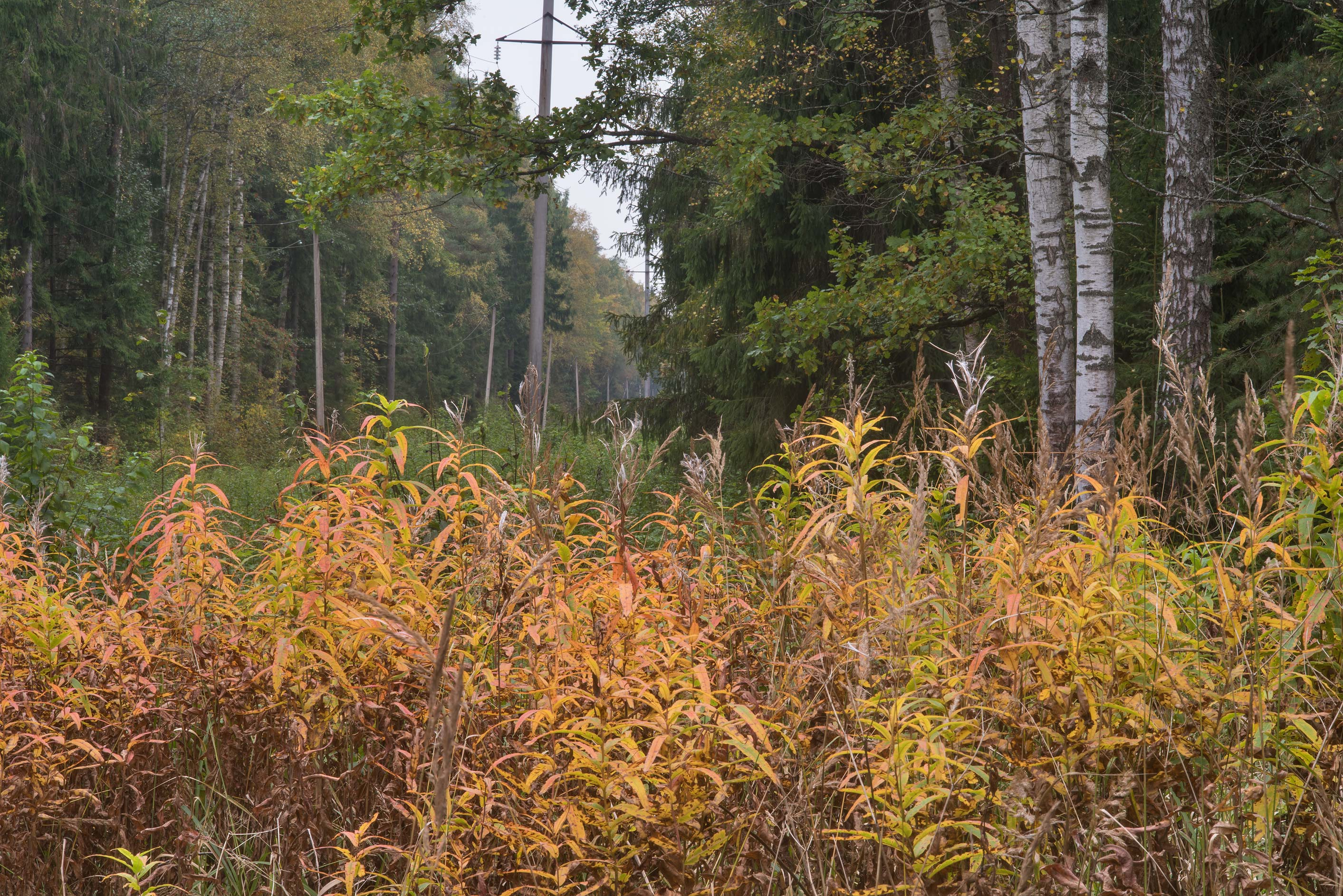 Fall colors of fireweed on a cutting in a forest...west from St.Petersburg. Russia