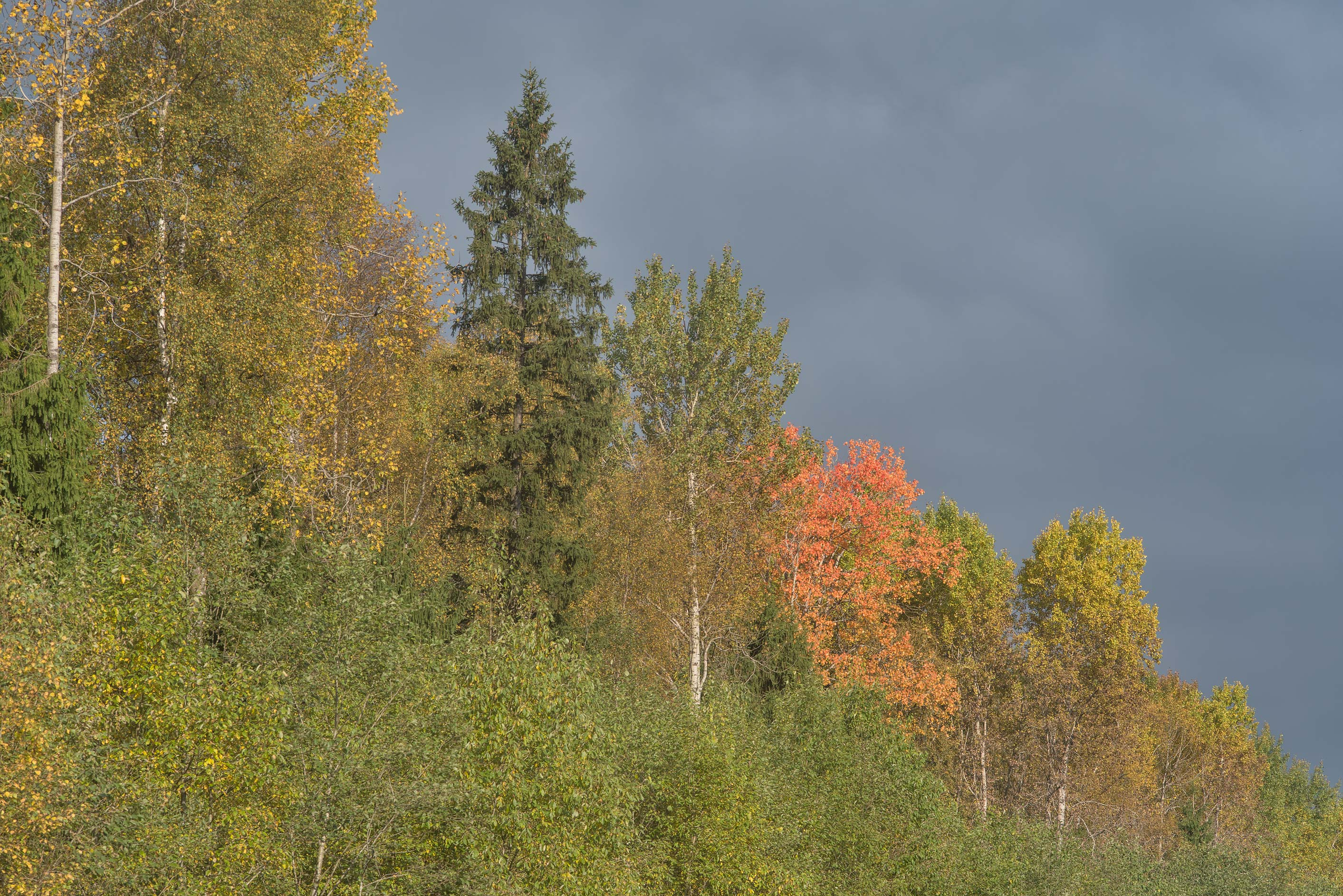 Fall colors around a gas line forest cutting near...north-west from St.Petersburg. Russia