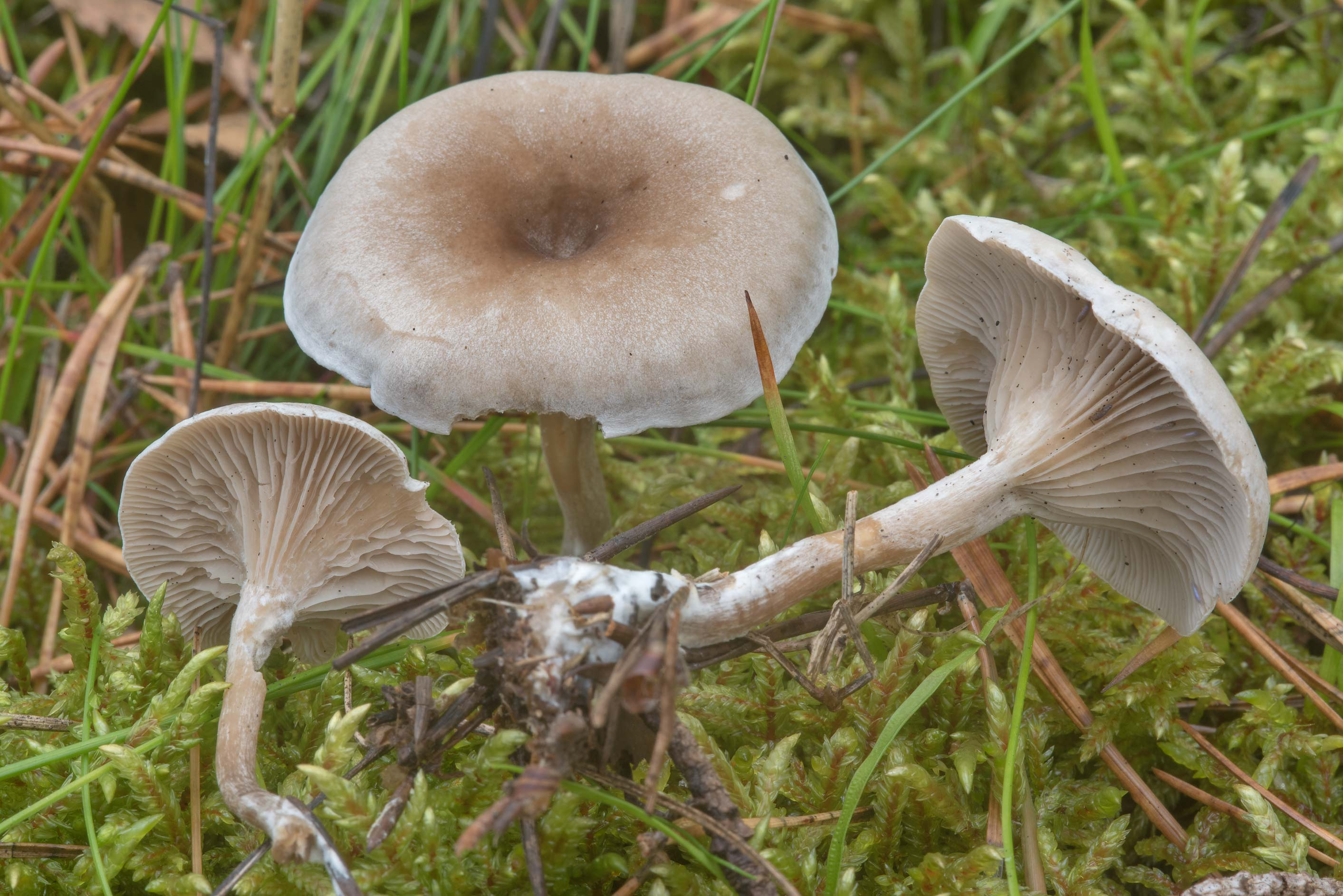 Clitopilopsis hirneola (Clitocybe hirneola...north-west from St.Petersburg. Russia