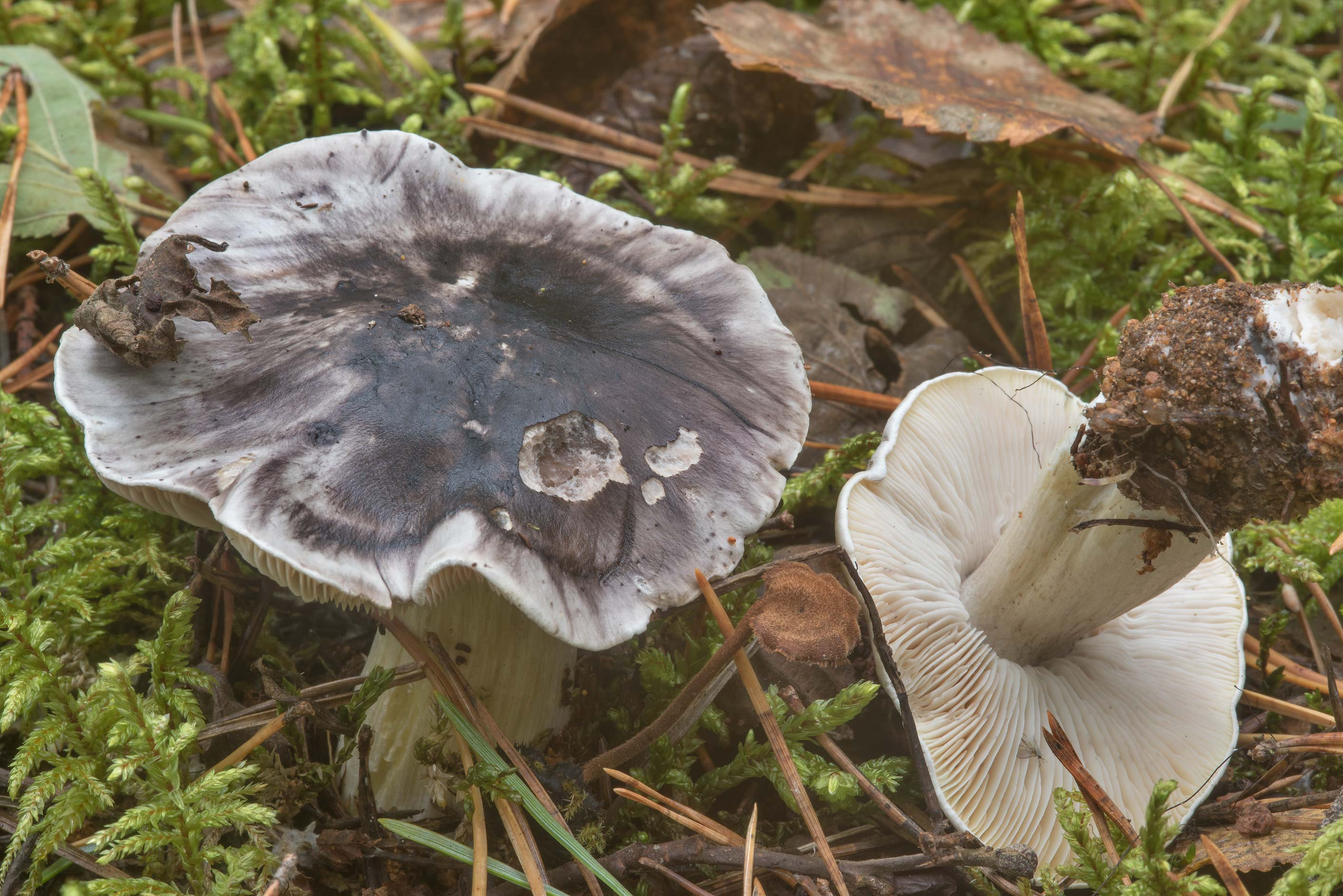 Coalman mushrooms (Tricholoma portentosum) in a...north-west from St.Petersburg. Russia