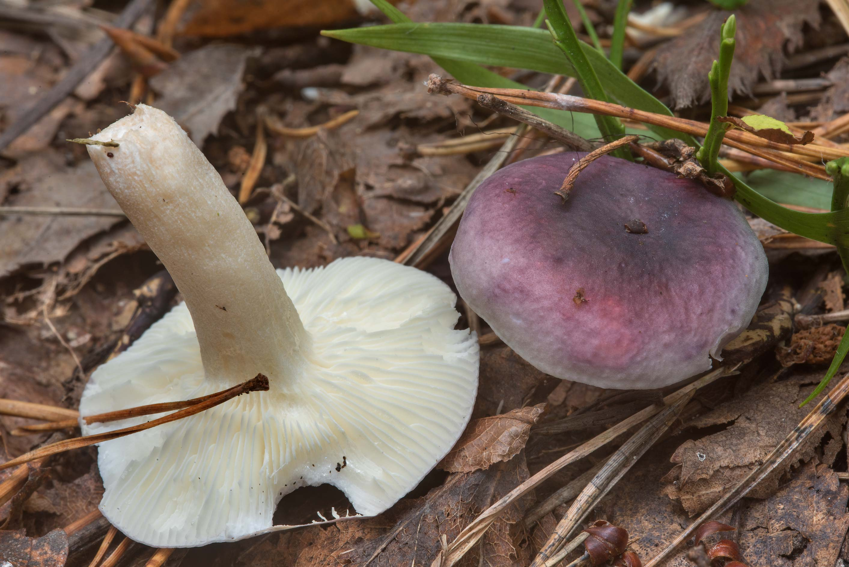 Pair of violet brittlegill mushrooms (Russula...north-west from St.Petersburg. Russia