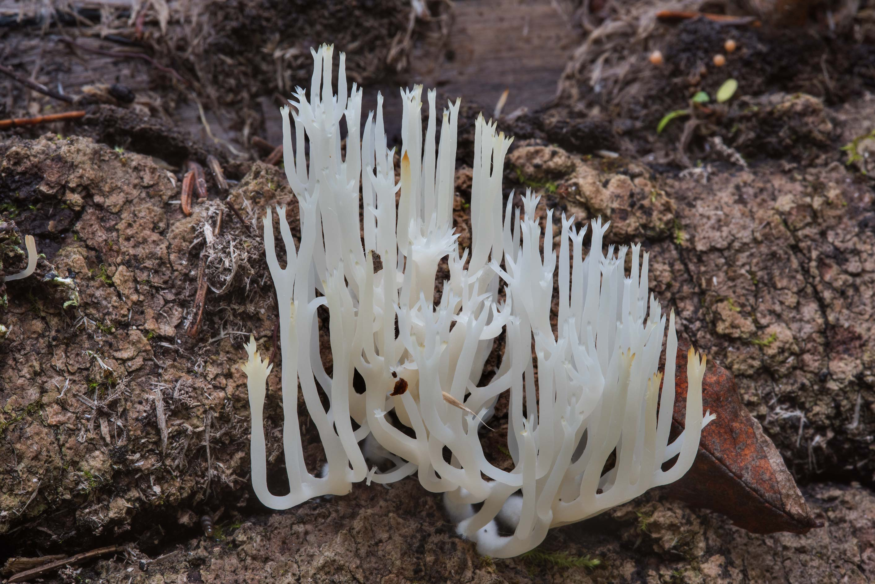 White wood coral mushrooms (Lentaria epichnoa) in...miles south from St.Petersburg. Russia