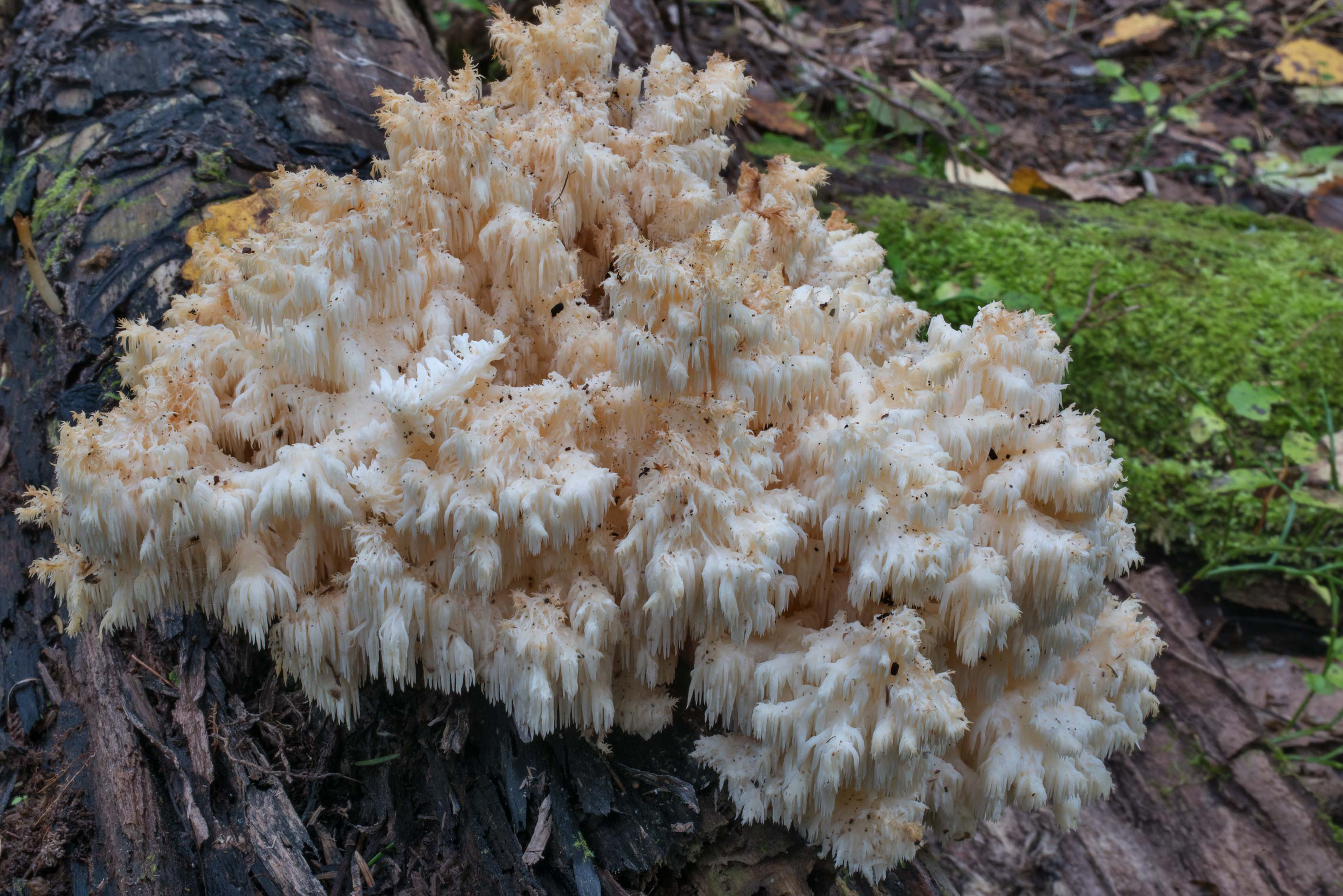 Large cluster of coral tooth mushrooms (Hericium...miles south from St.Petersburg. Russia