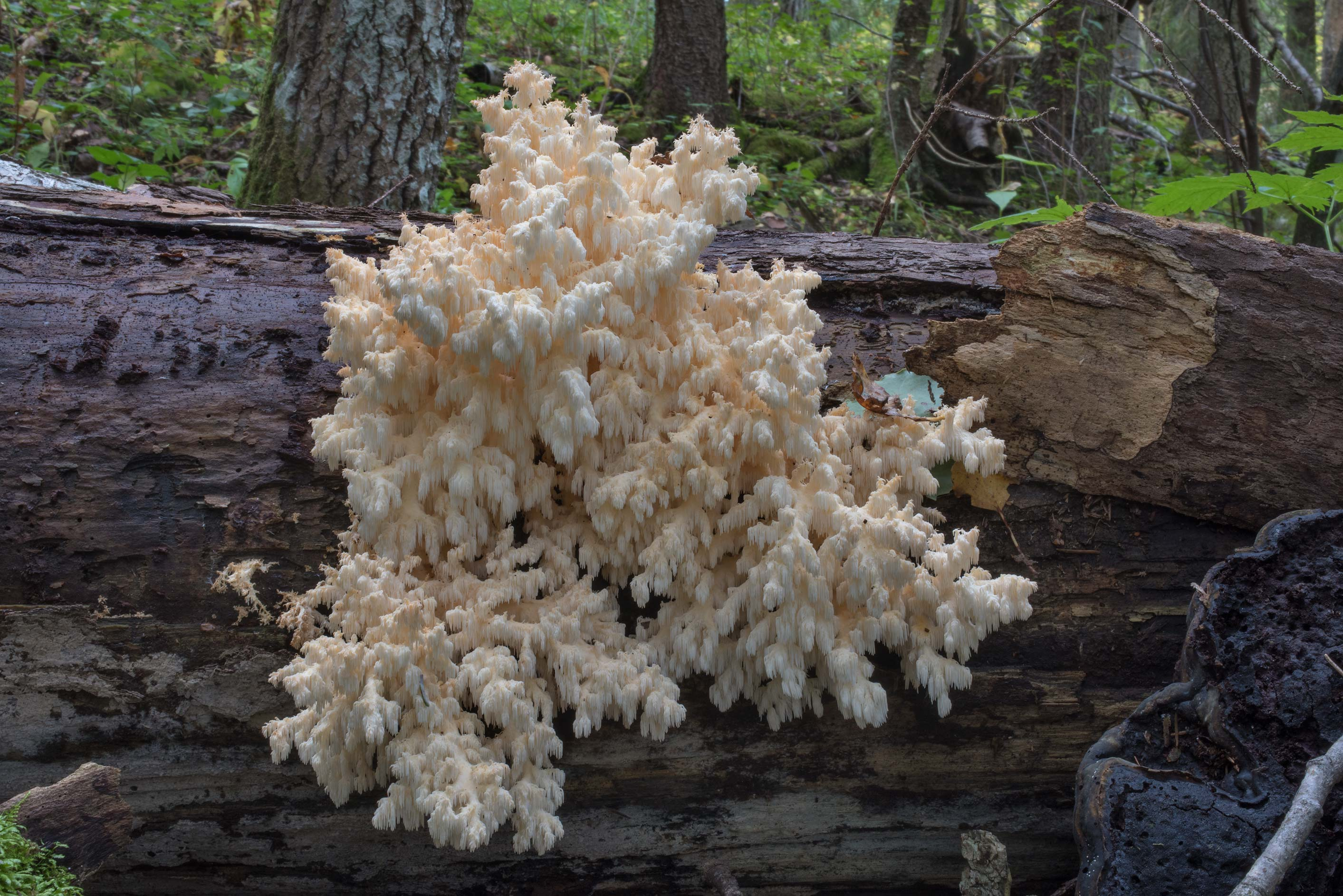 Large group of coral tooth mushrooms (Hericium...miles south from St.Petersburg. Russia