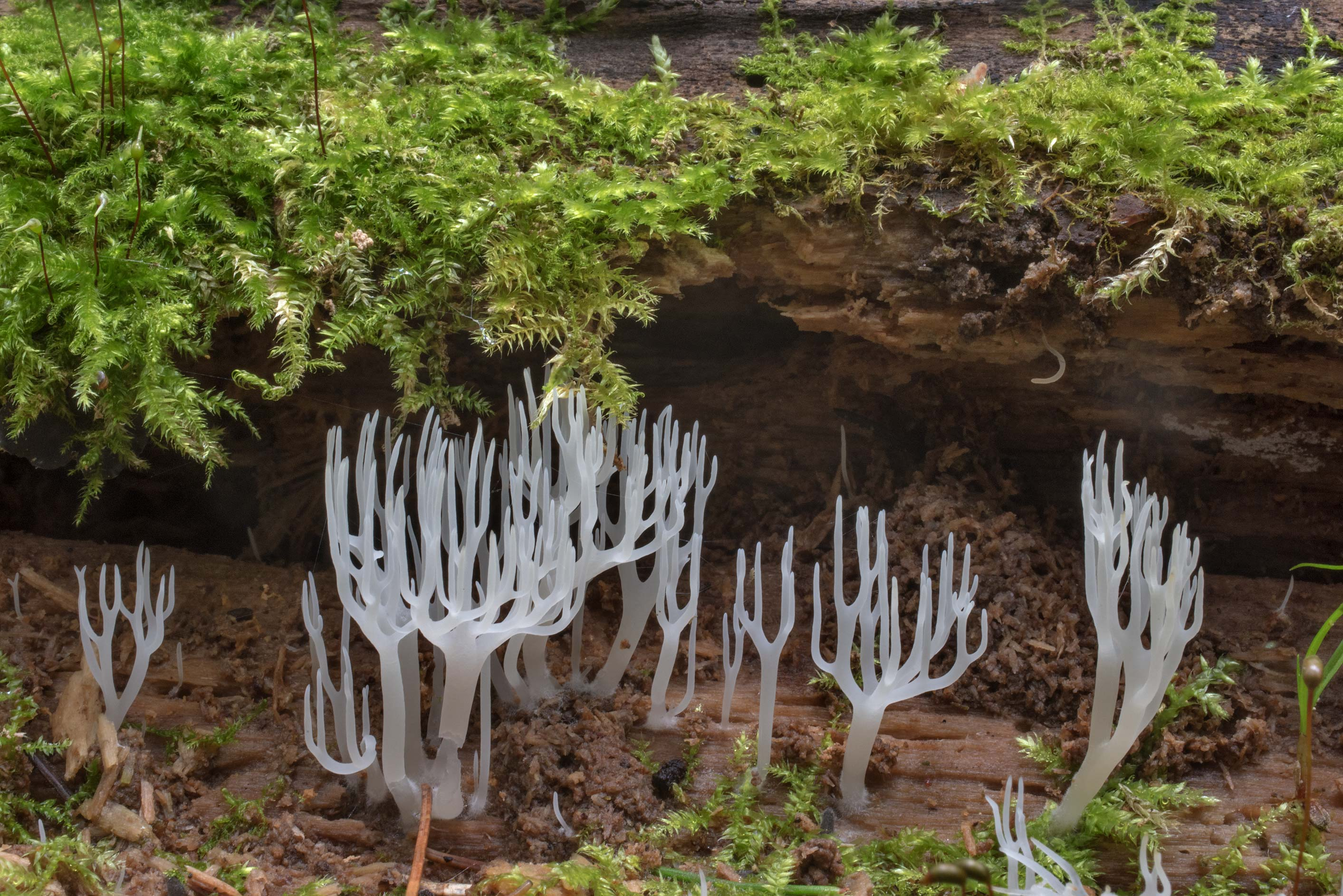 White wood coral mushrooms (Lentaria epichnoa) on...miles south from St.Petersburg. Russia
