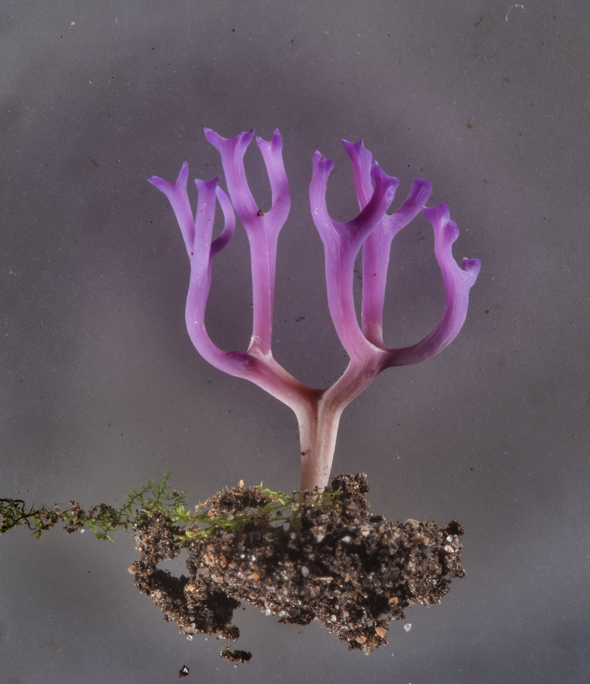Violet coral mushrooms Ramariopsis pulchella from...Institute. St.Petersburg, Russia