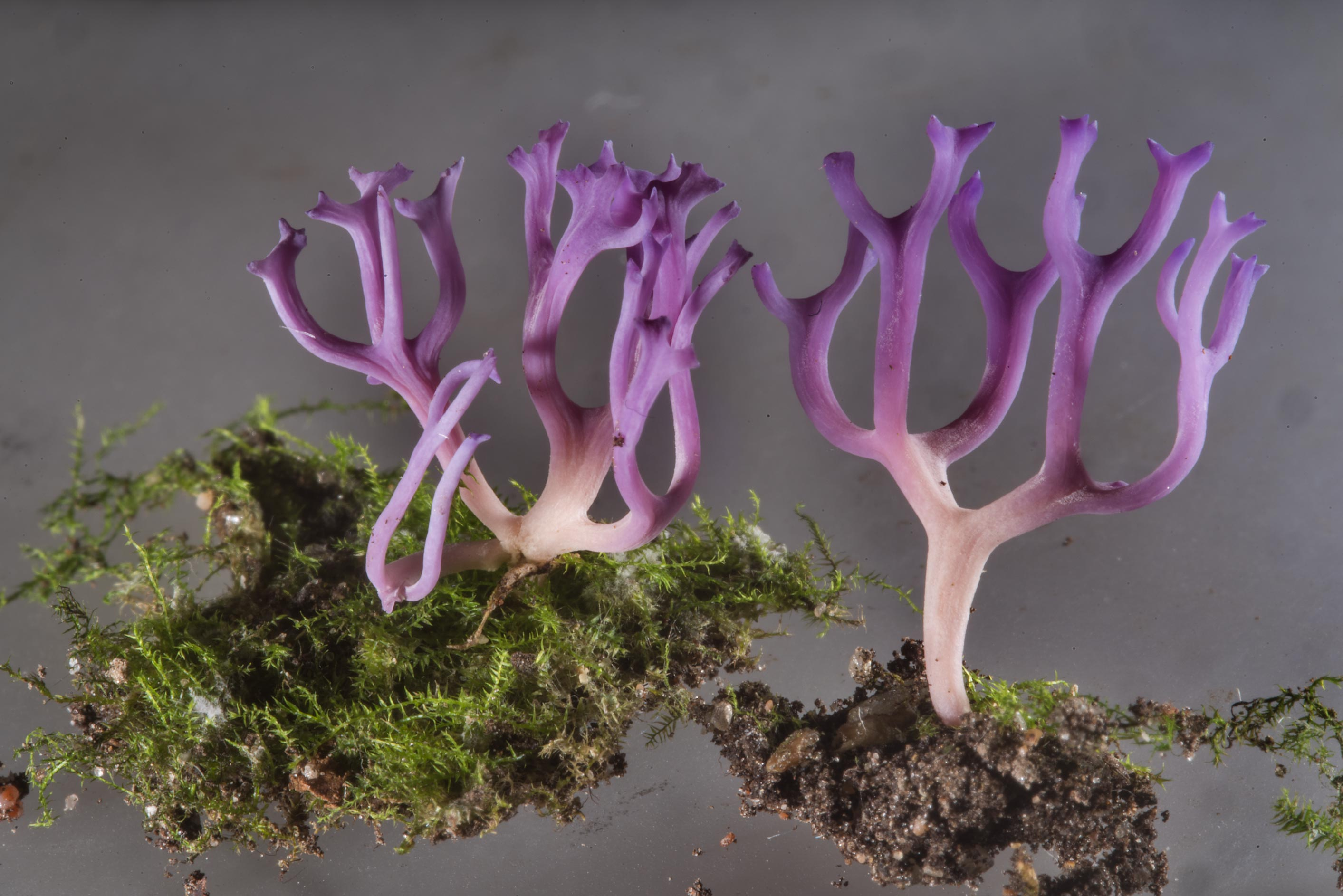 Violet coral fungus Ramariopsis pulchella from a...Institute. St.Petersburg, Russia