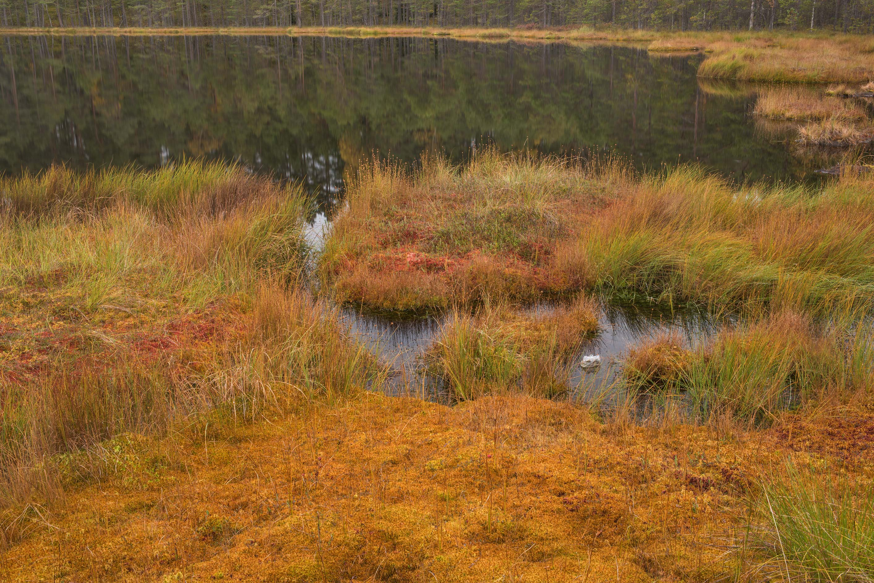 Fall colors Boloto Lammin-Suo swamp reserve, 25...north-west from St.Petersburg. Russia