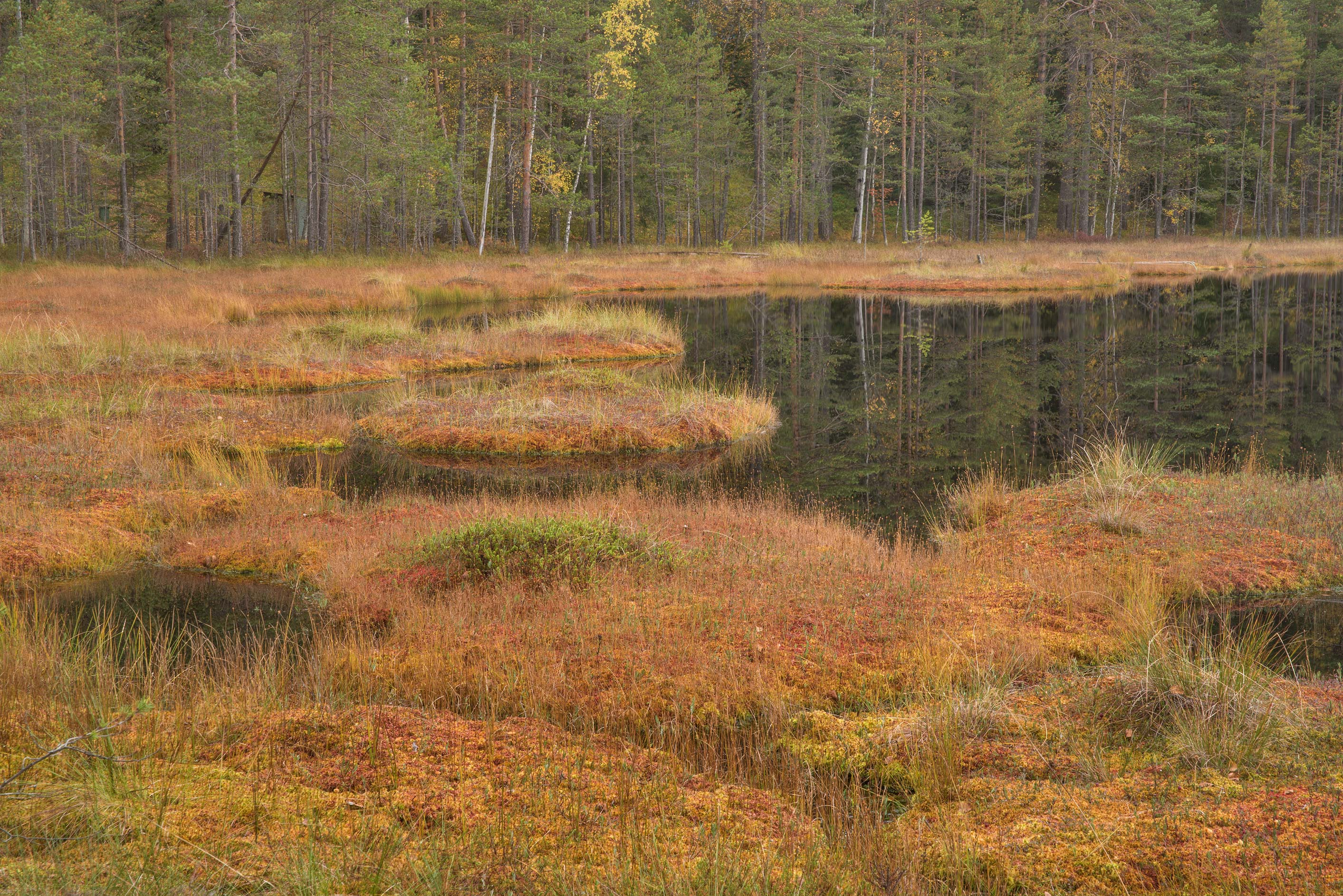 Marshy area near Dve Sestry Lake in Boloto Lammin...north-west from St.Petersburg. Russia