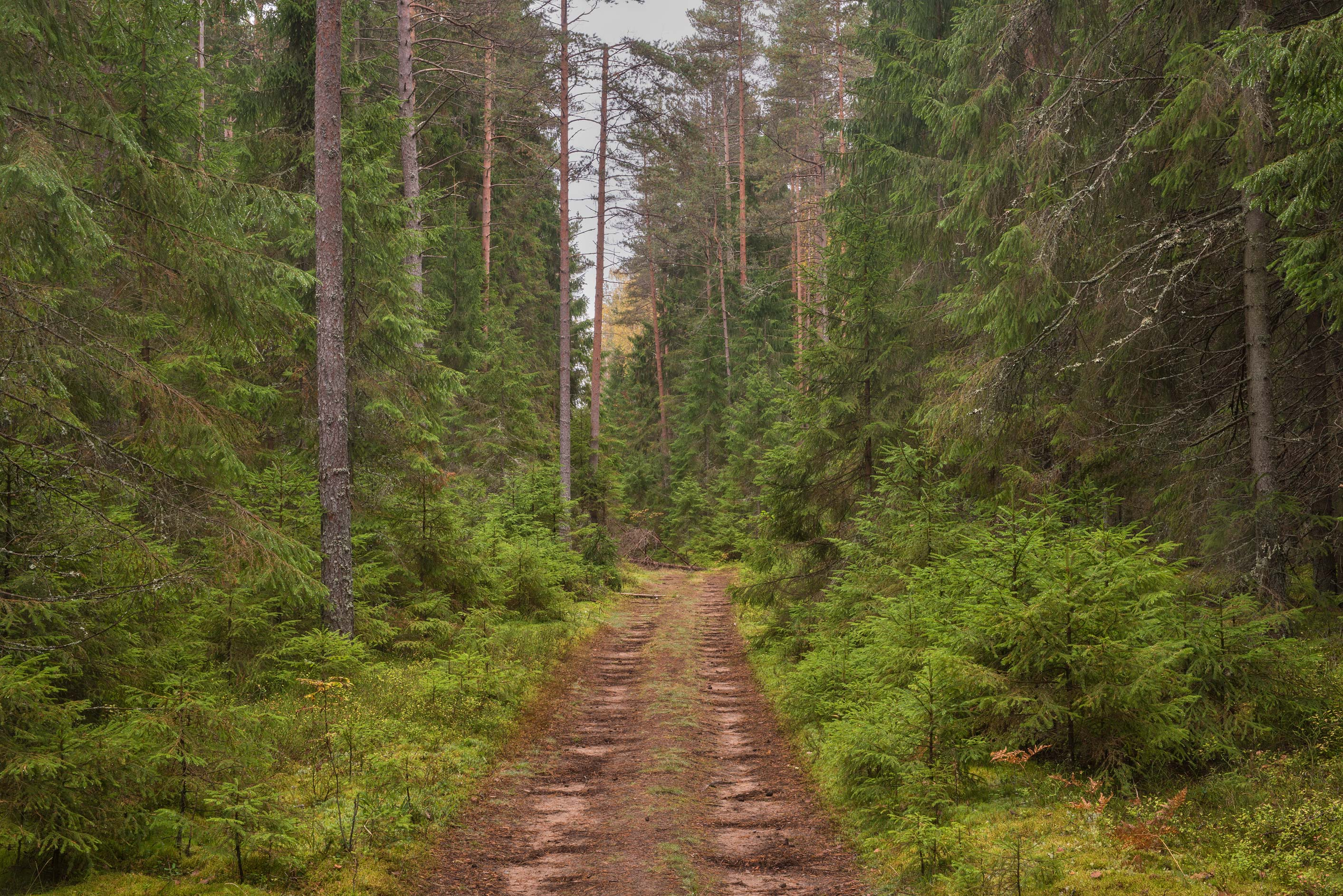 Road in a spruce forest near Zelenogorsk, 25 miles north-west from St.Petersburg. Russia