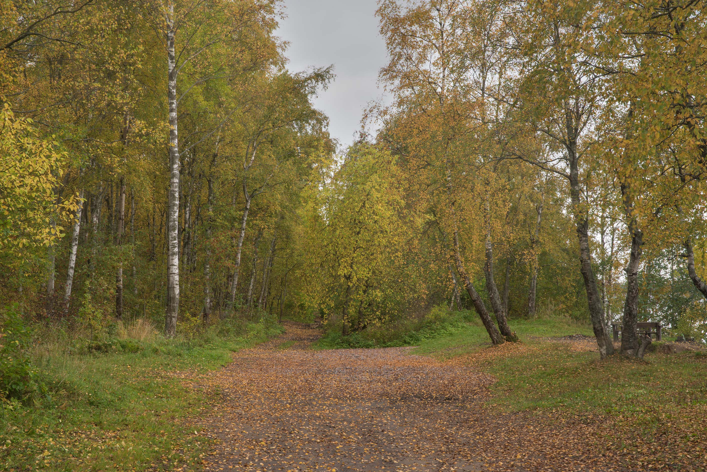 Fall colors of a birch forest on Lenin Trail near...north-west from St.Petersburg. Russia