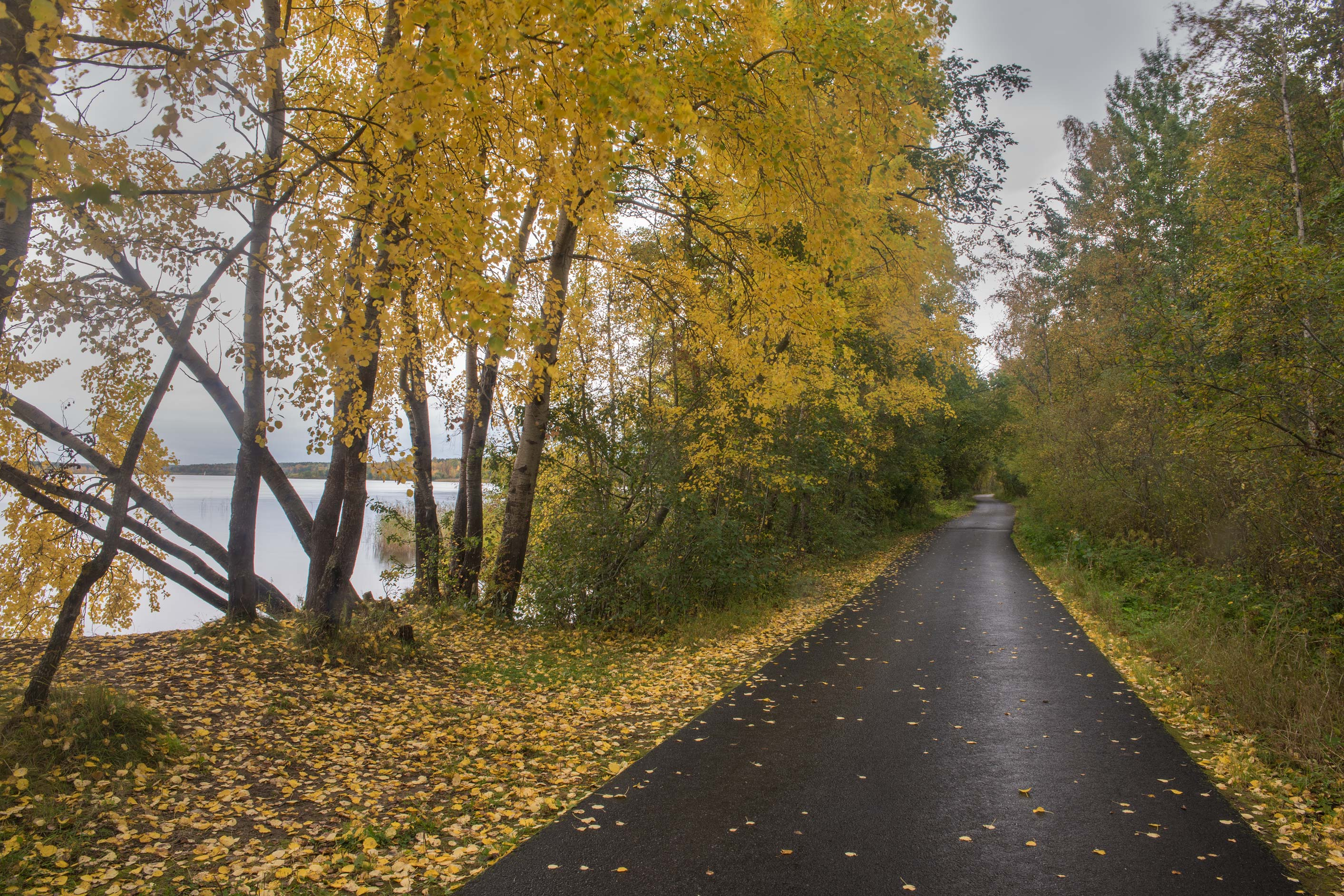 Yellow leaves of aspen trees on Lenin Trail near...north-west from St.Petersburg. Russia