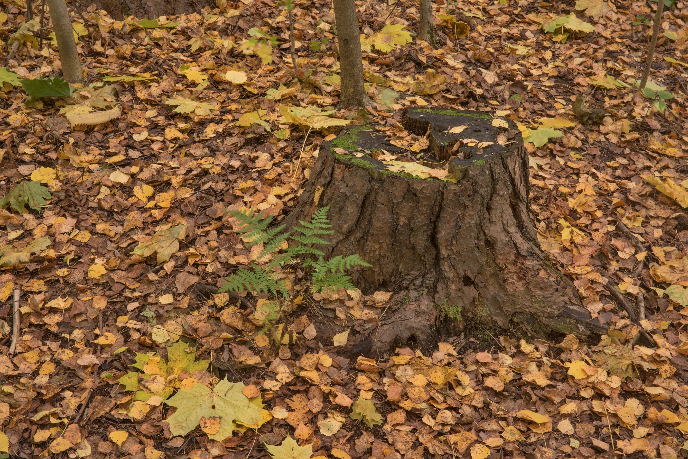 Tree stump in fall in Sosnovka Park. St.Petersburg, Russia