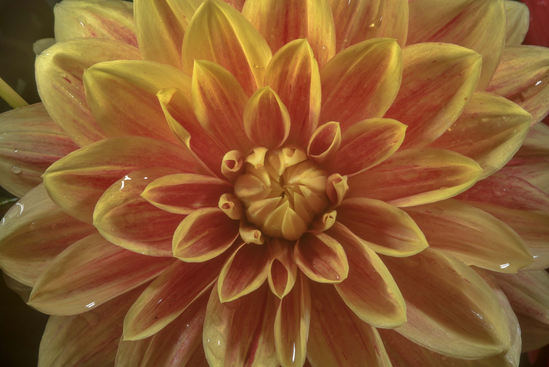 Photo 2182 12 Orange Dahlia Flower In Botanic Gardens Of