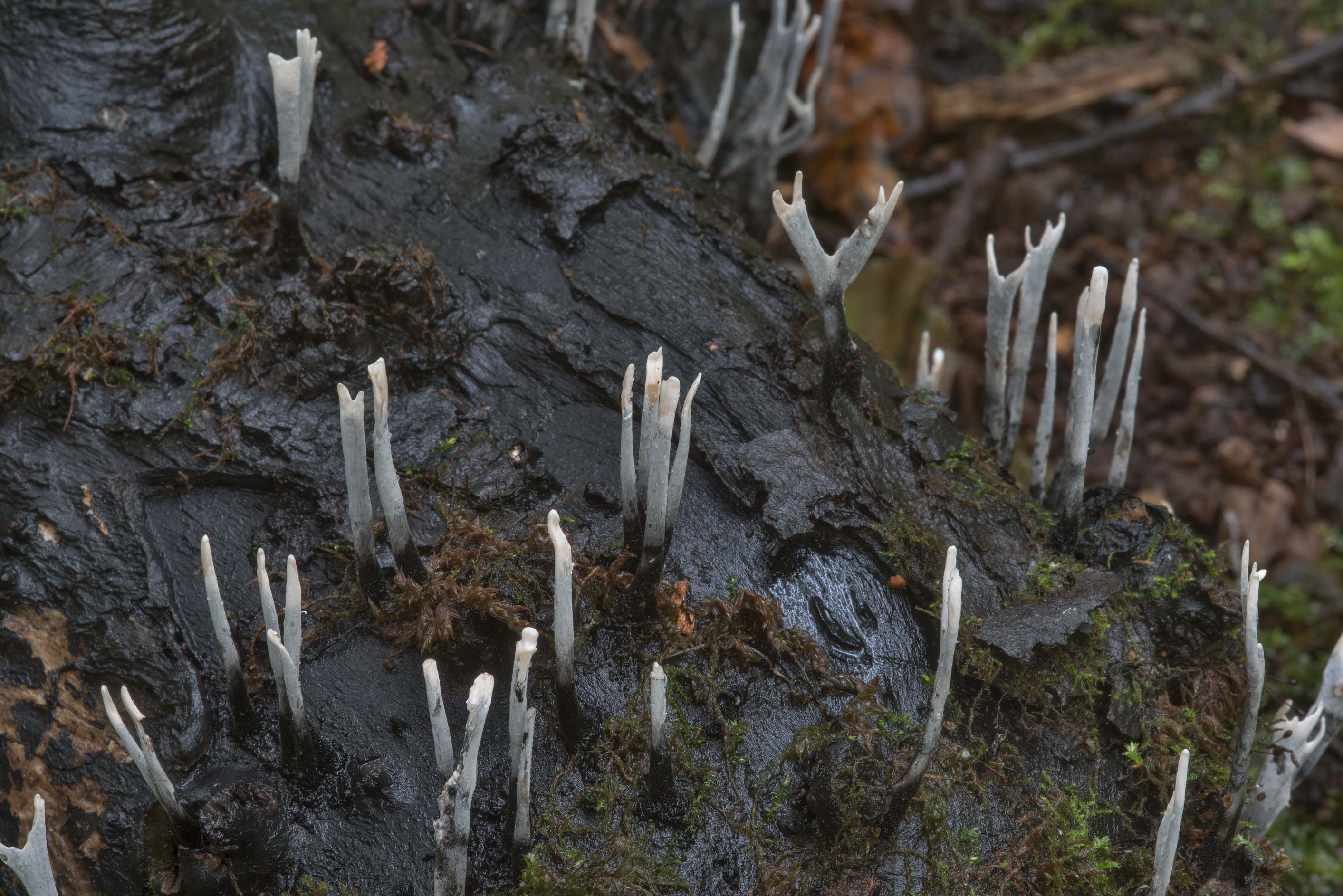 Close up of candlesnuff fungus (Xylaria hypoxylon...west from St.Petersburg, Russia