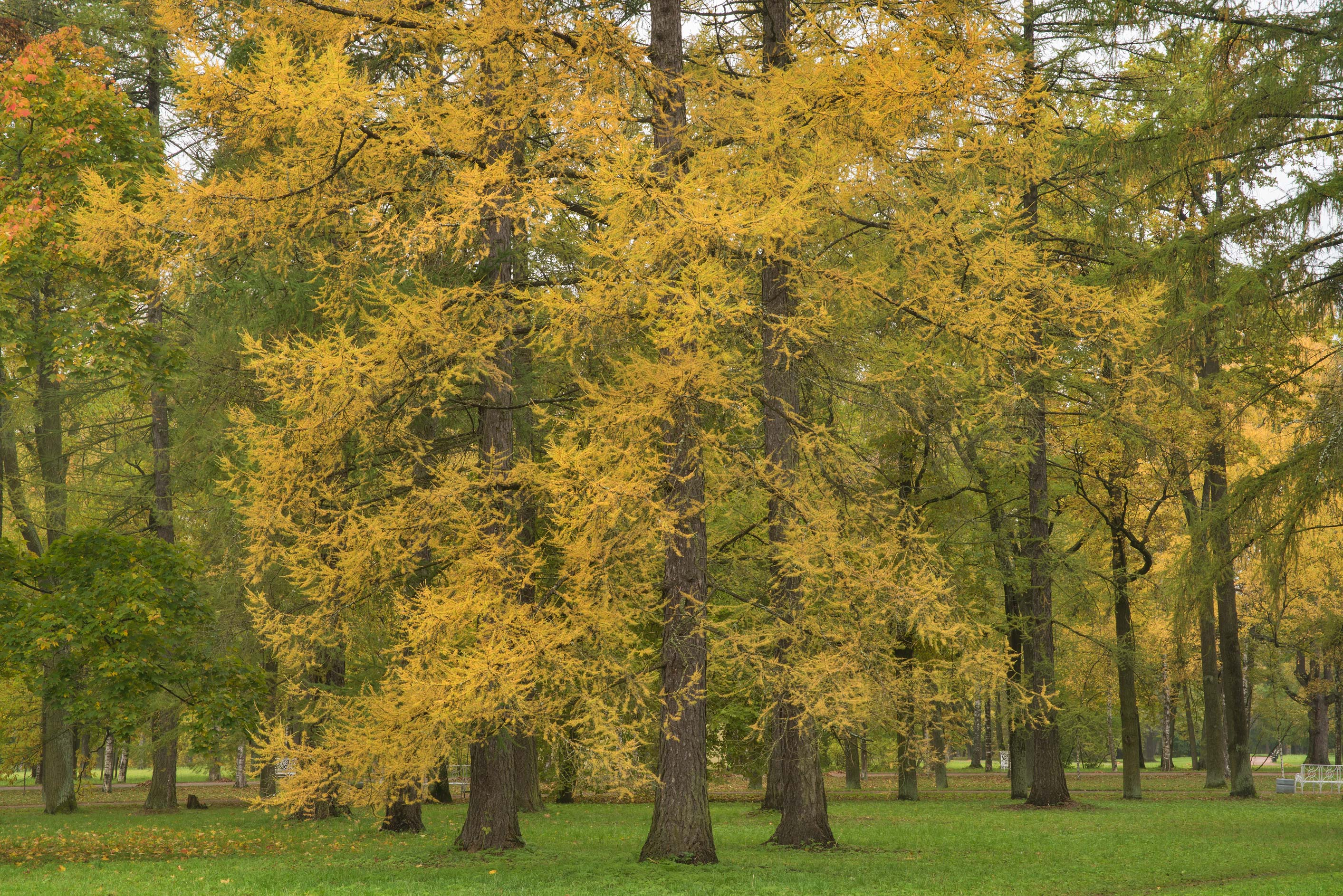 Larch trees in Alexander Park. Pushkin (former...south from St.Petersburg, Russia