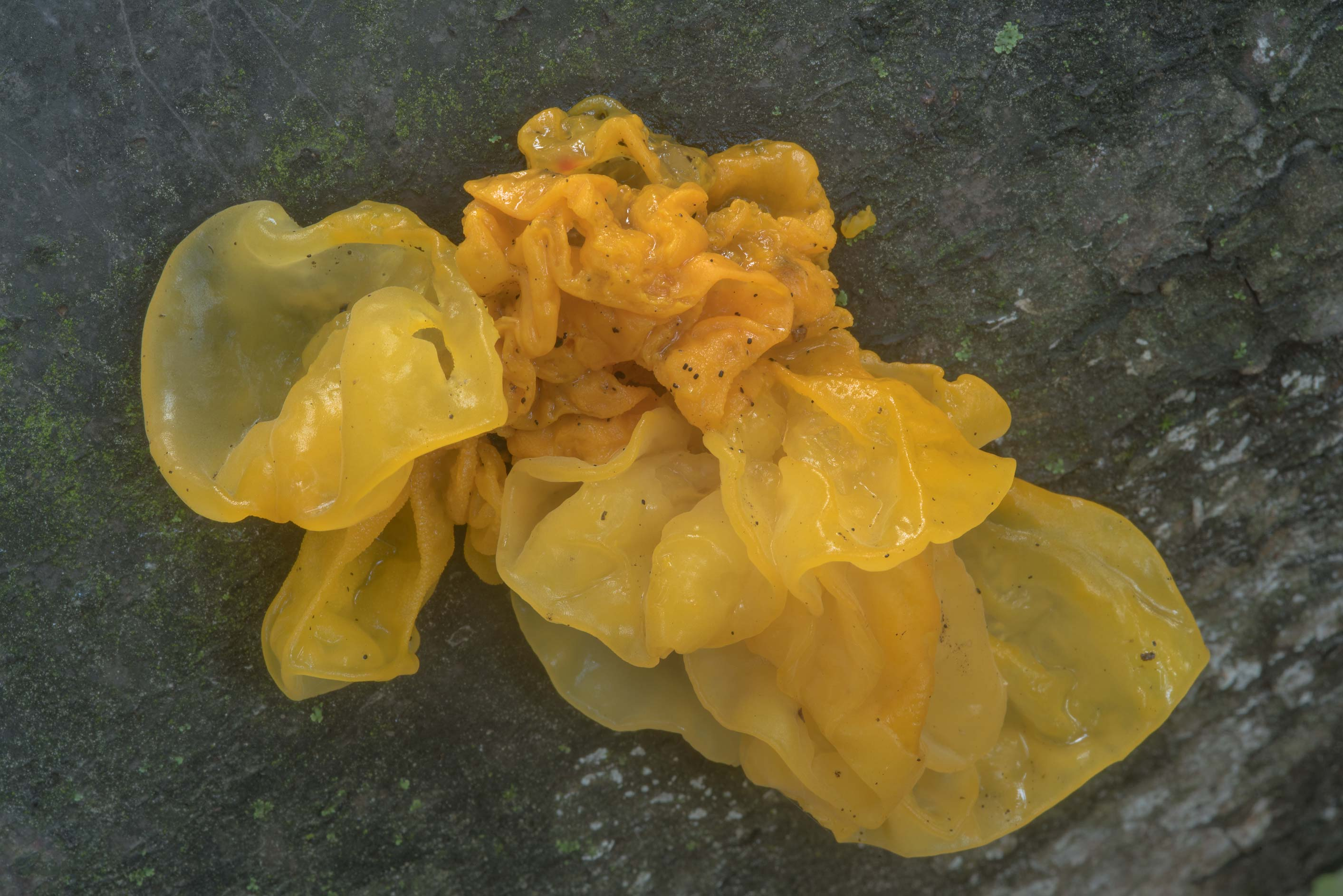 Yellow brain fungus (Tremella mesenterica) north...Elagin Island. St.Petersburg, Russia