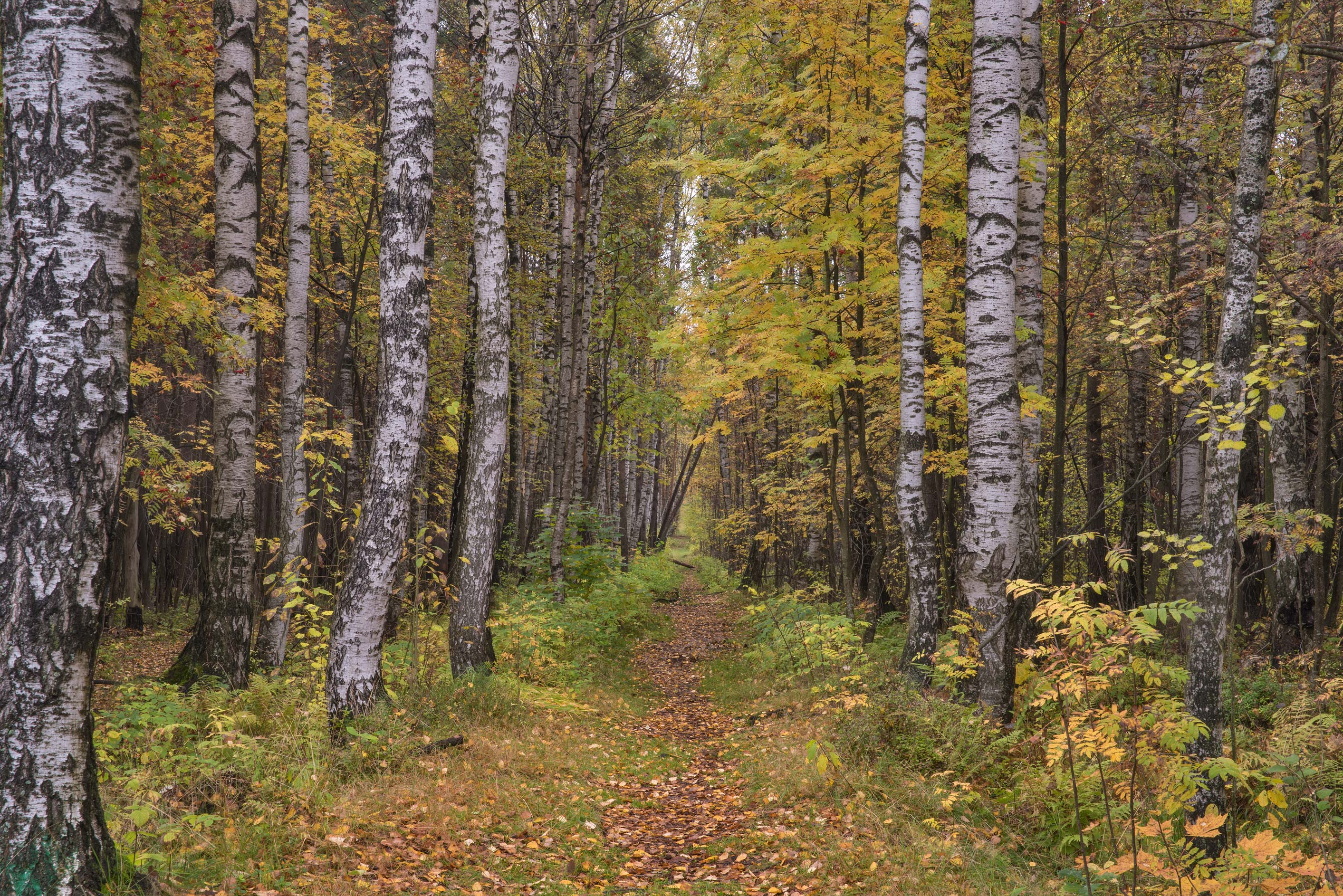Birch alley in north area in Sosnovka Park. St.Petersburg, Russia