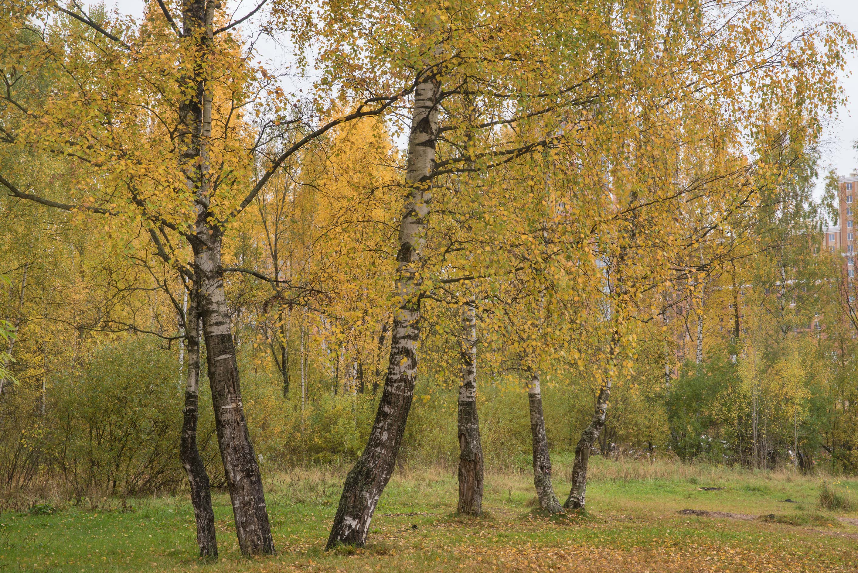 Birches near Bublik Pond in northern area in Sosnovka Park. St.Petersburg, Russia