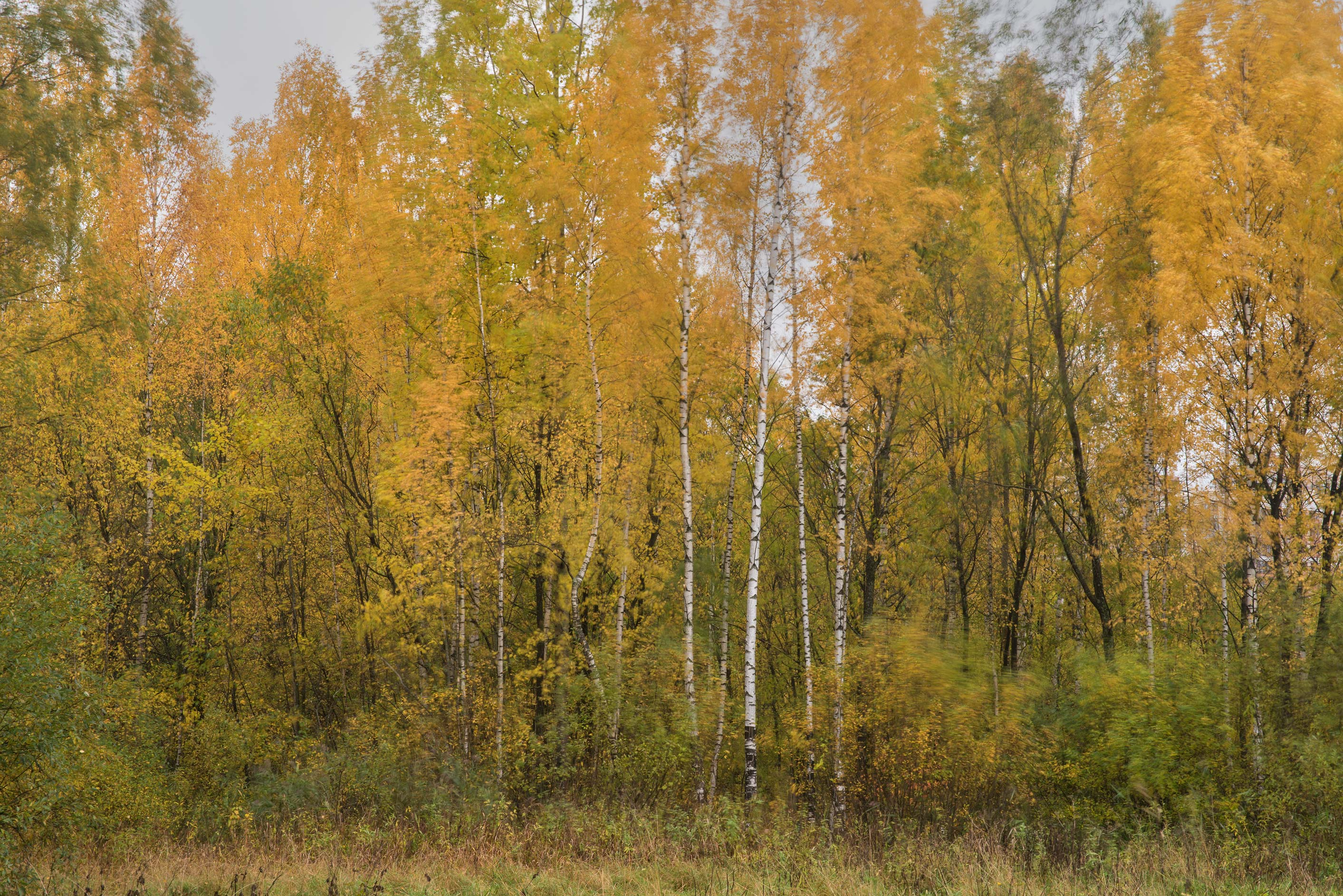 Yellow foliage near Bublik Pond in northern area in Sosnovka Park. St.Petersburg, Russia