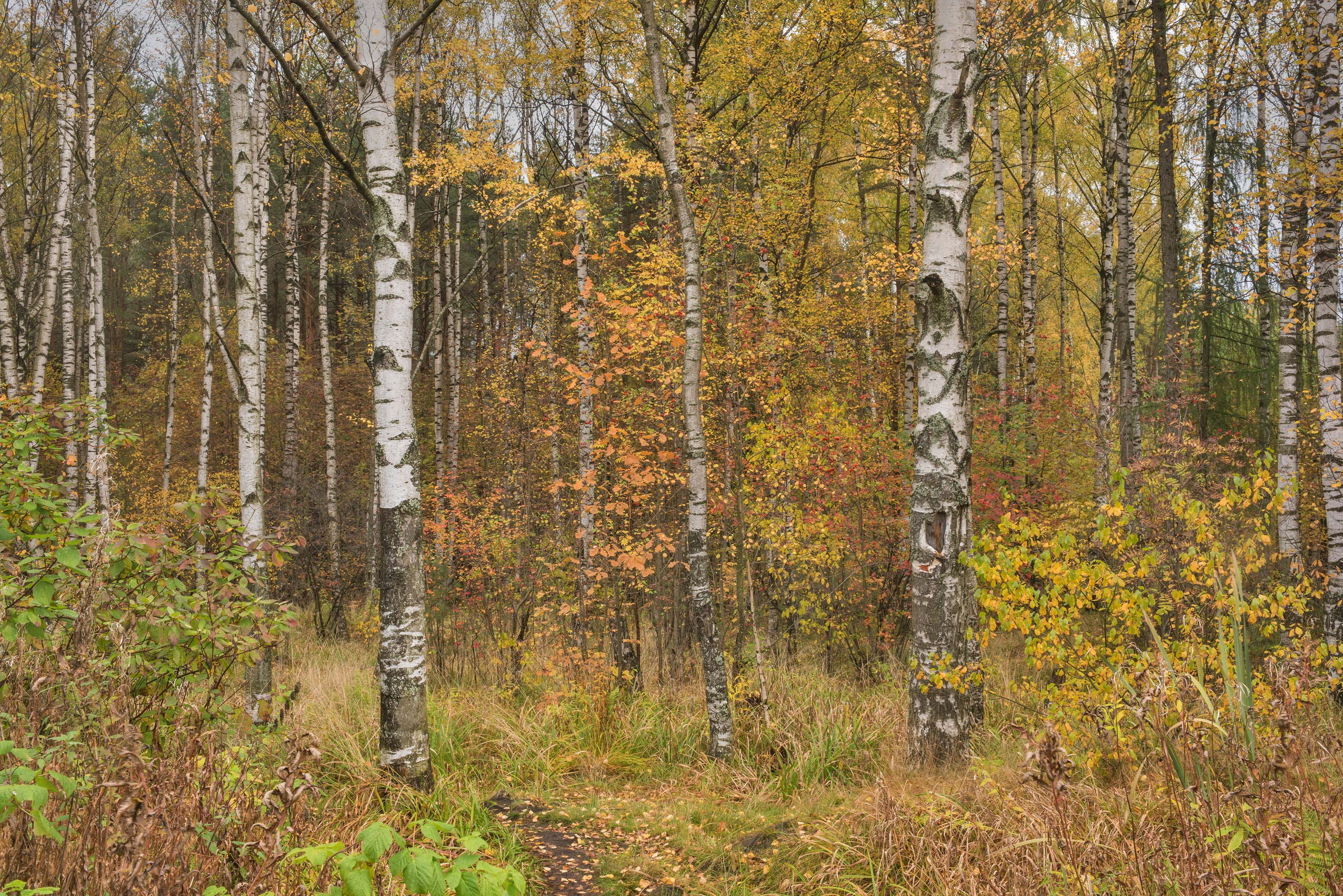 Birch trees in northern part of Sosnovka Park. St.Petersburg, Russia