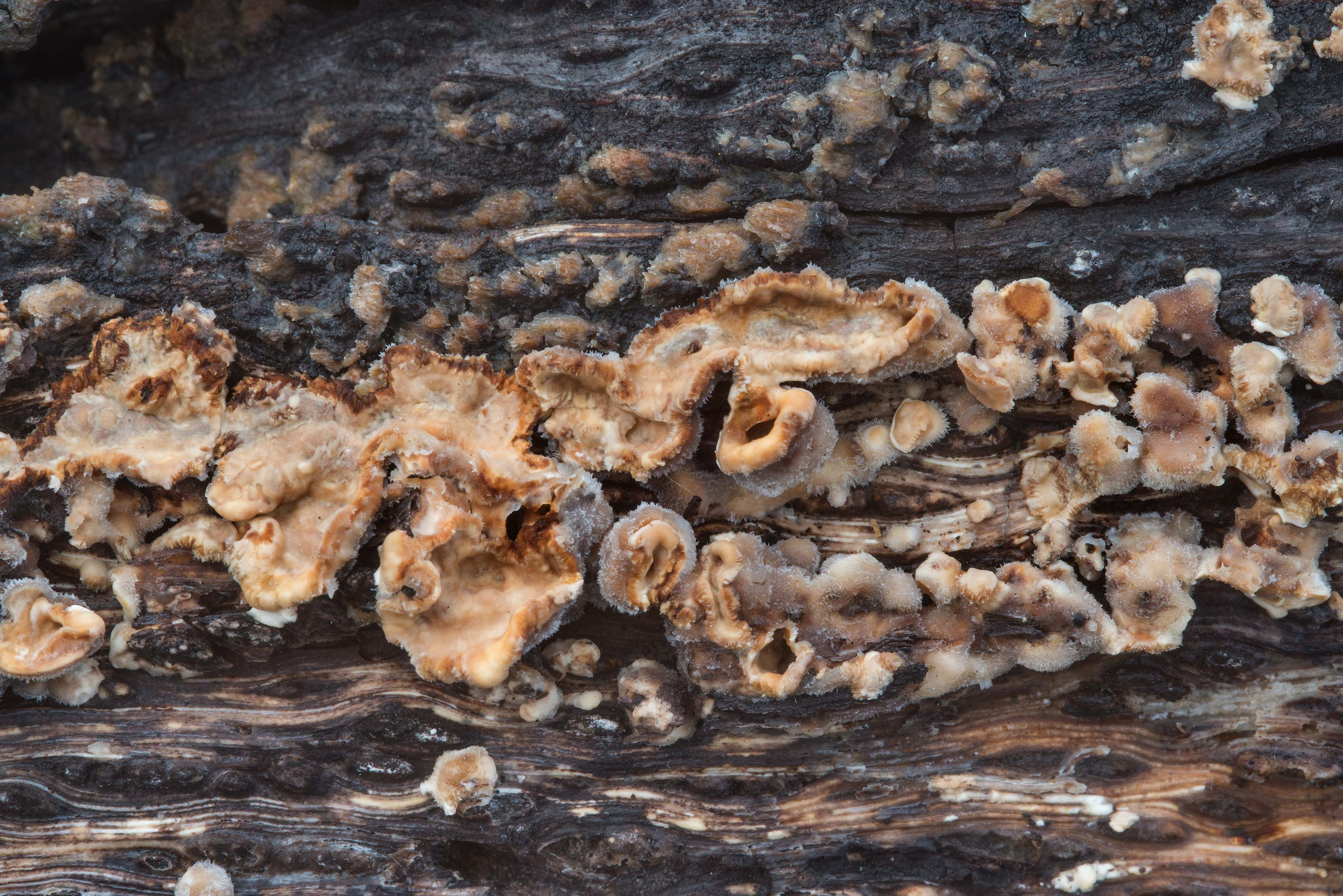 Stereum mushrooms on a log of an oak tree in Bee Creek Park. College Station, Texas
