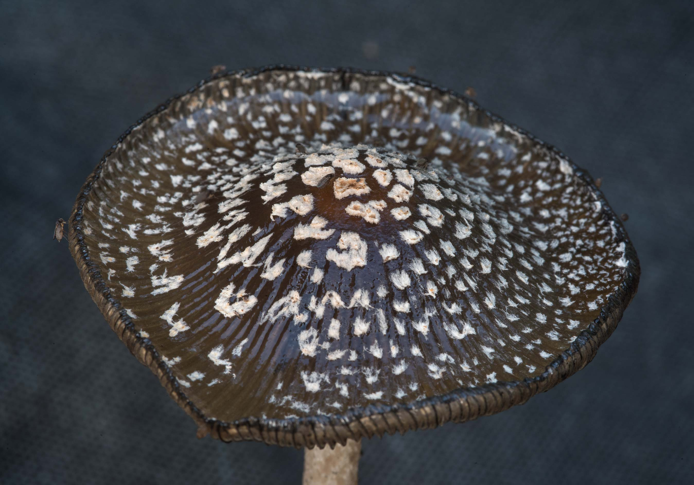 A cap of magpie inkcap mushroom (Coprinopsis...Bee Creek Park. College Station, Texas
