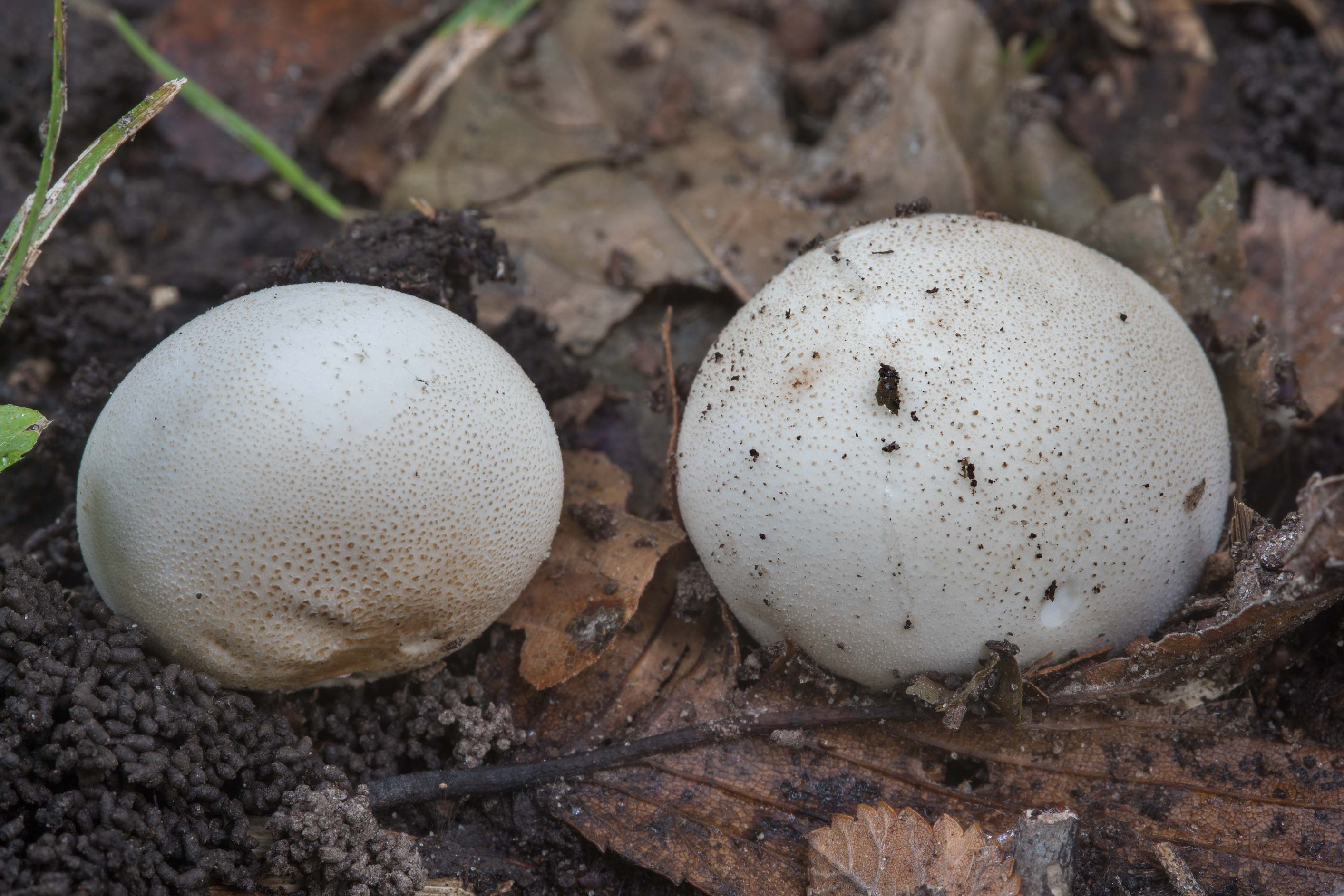 Puffball (Lycoperdon ) mushrooms on a trail in Bee Creek Park. College Station, Texas