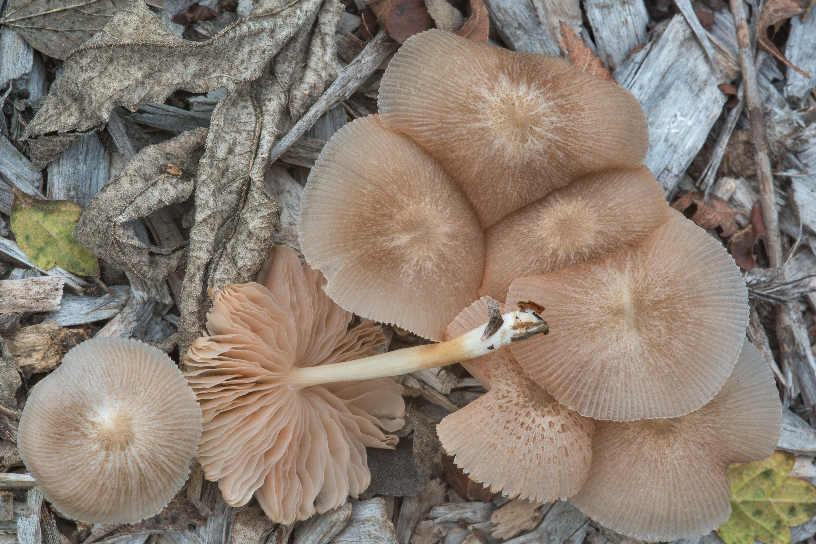 Pleated shield mushrooms (Pluteus longistriatus...Lemontree Park. College Station, Texas