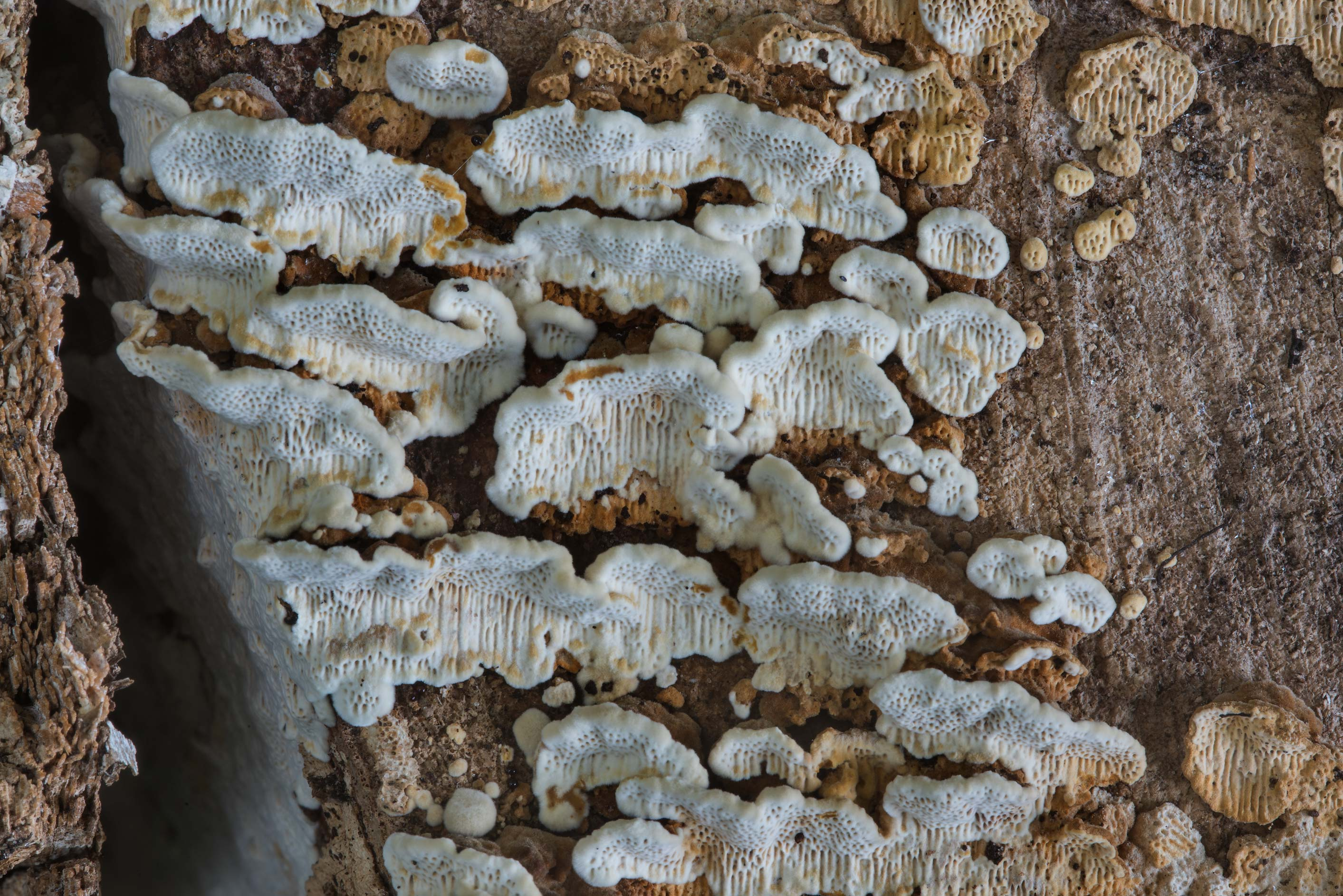 Polypore mushrooms on a cut surface of a log in Lemontree Park. College Station, Texas
