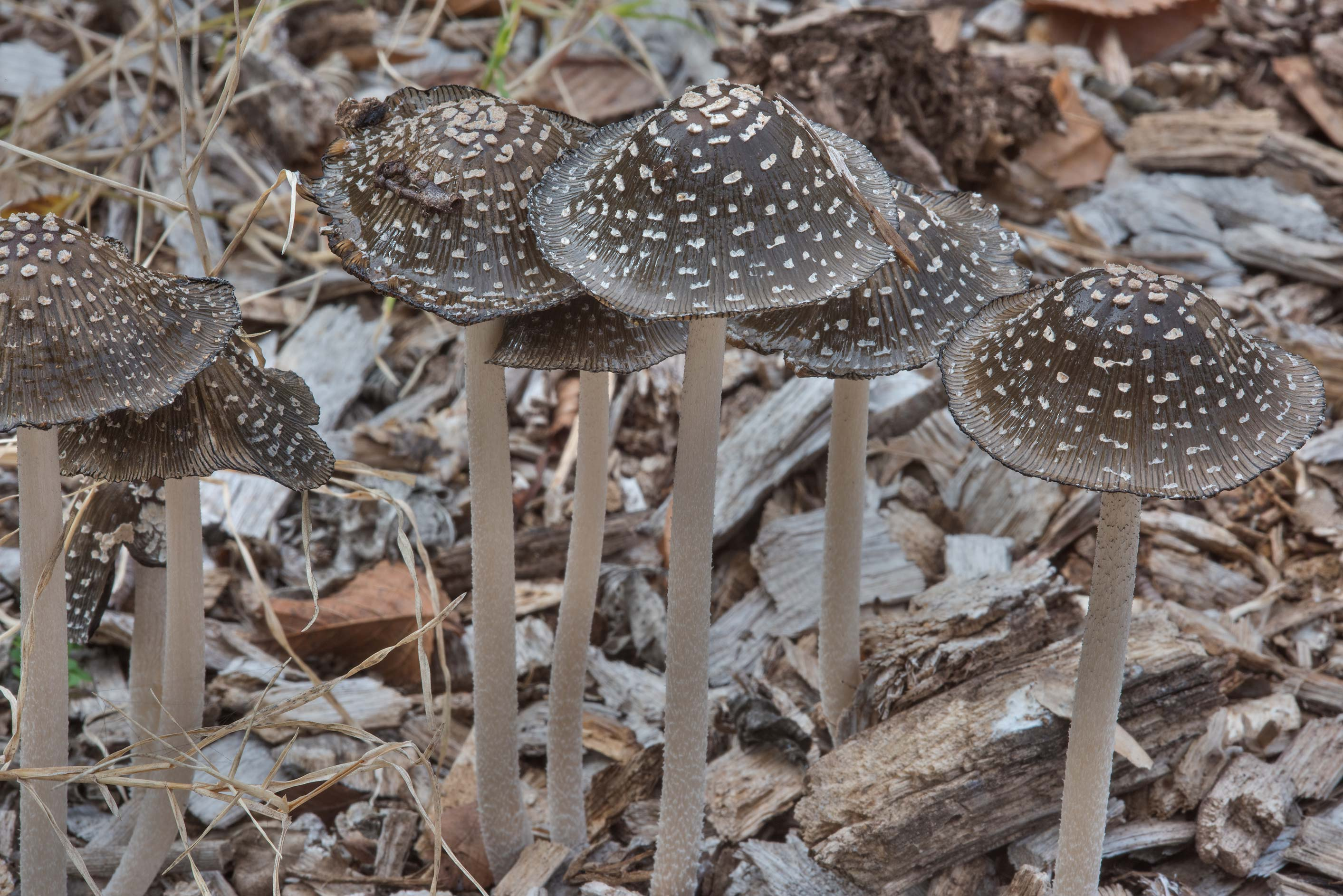 Group of magpie inkcap mushroom (Coprinopsis...Bee Creek Park. College Station, Texas