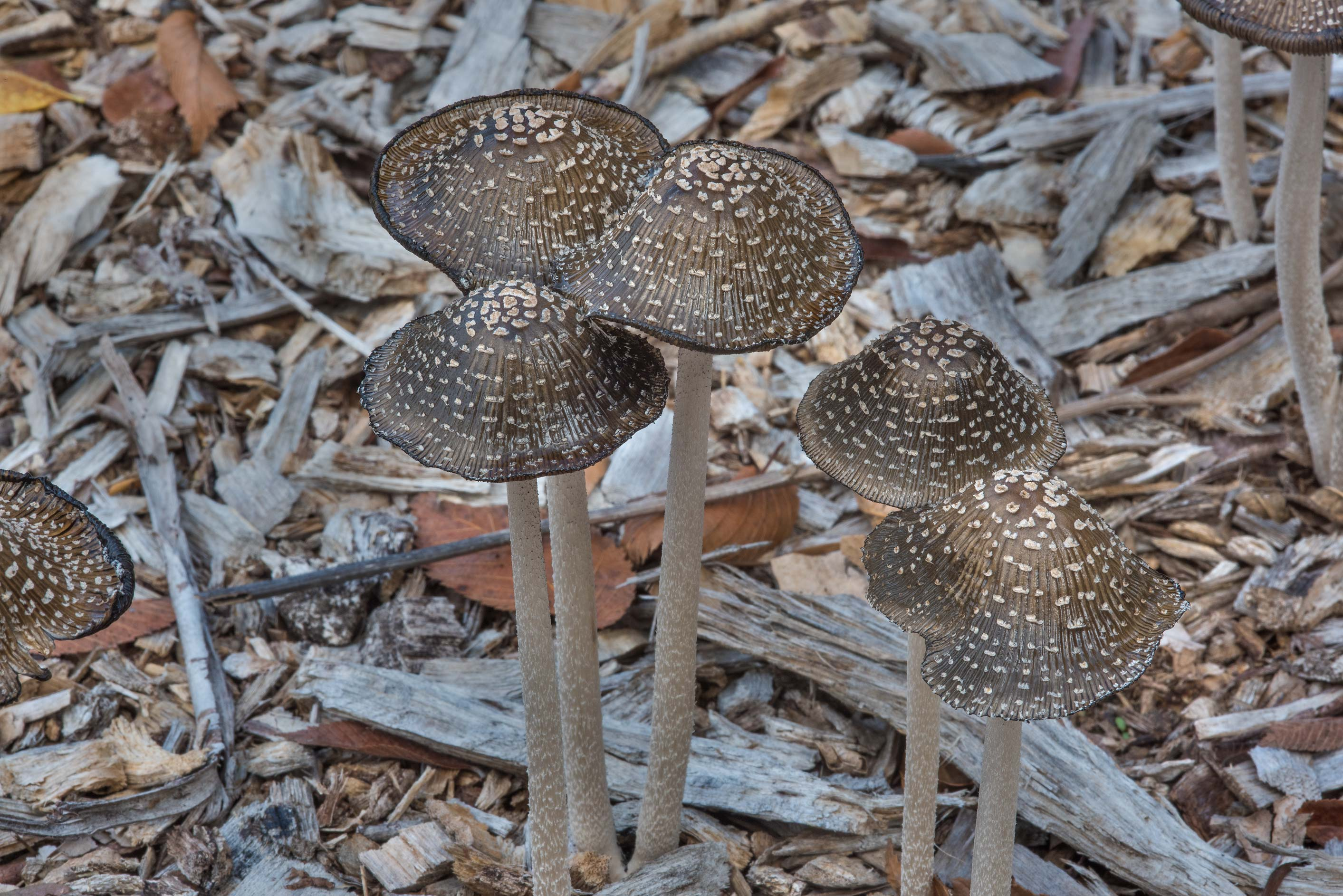 Caps of magpie inkcap mushrooms (Coprinopsis...Bee Creek Park. College Station, Texas
