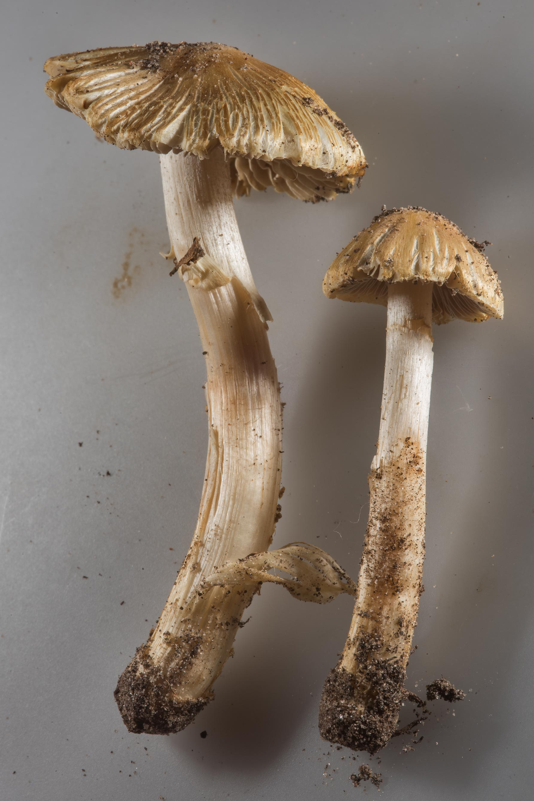 Fibrecap mushrooms Inocybe rimosa taken from a...Anderson St.. College Station, Texas