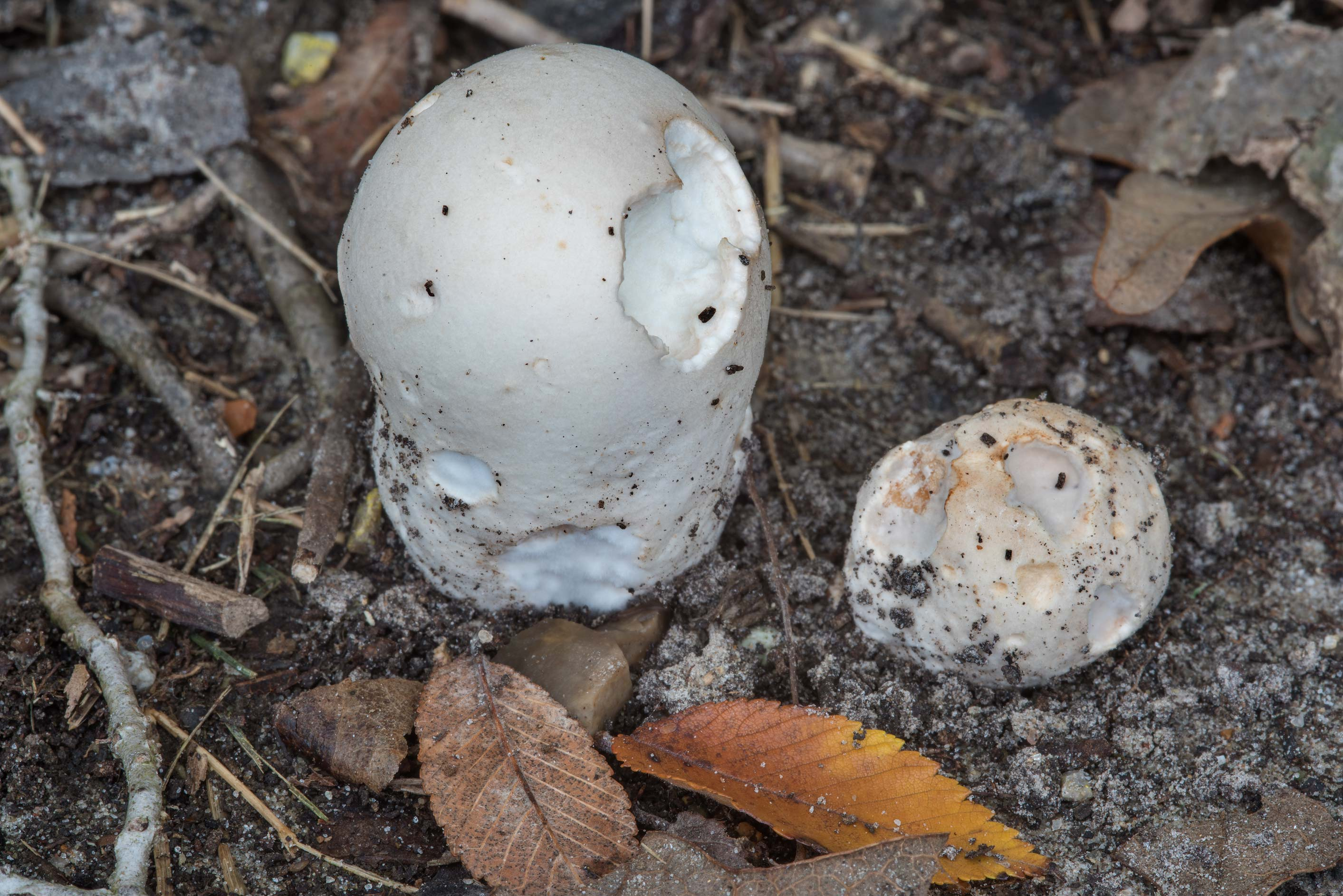 Puffball mushrooms Calvatia in Wolf Pen Creek Park. College Station, Texas