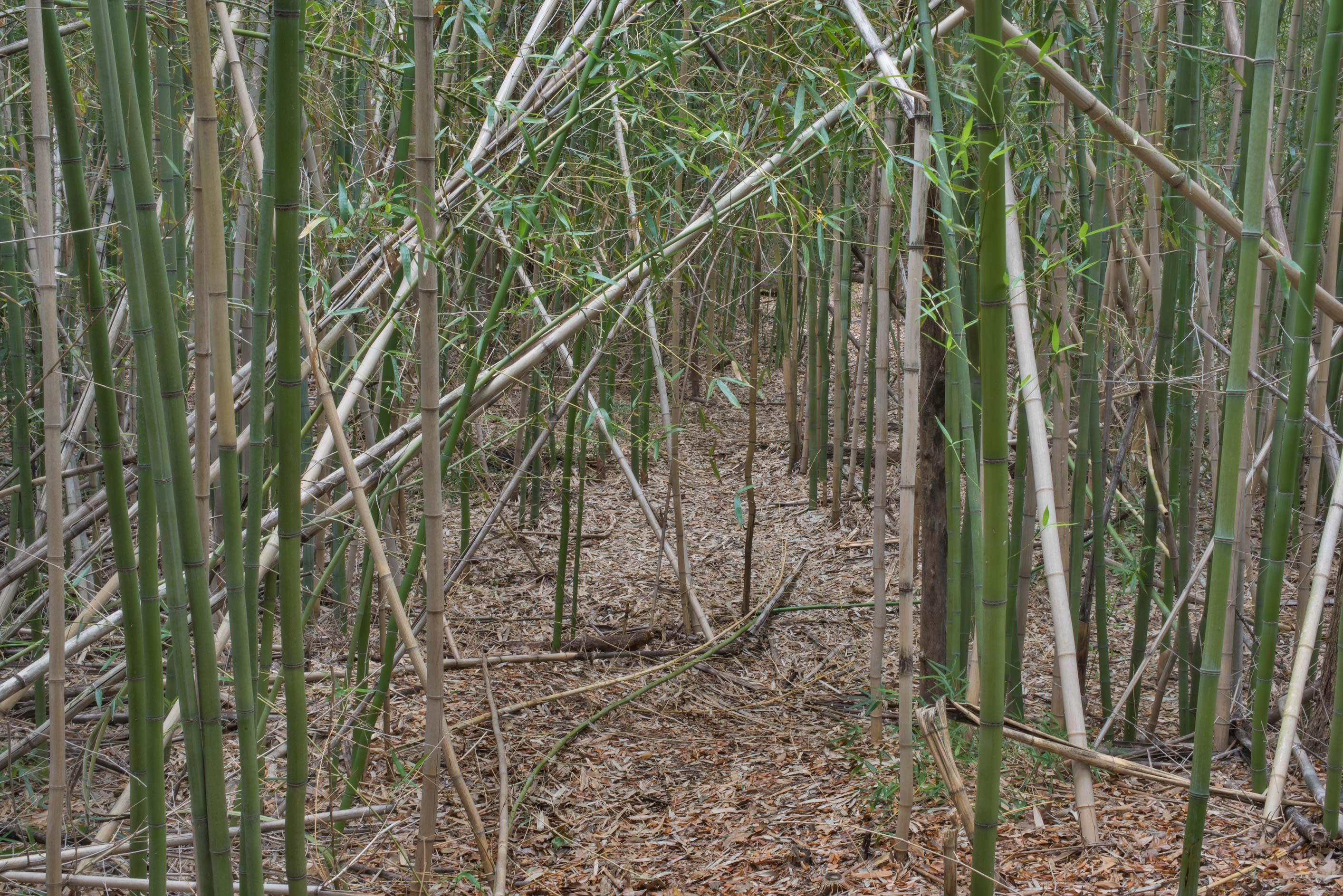 Bamboo forest on Kiwanis Nature Trail. College Station, Texas