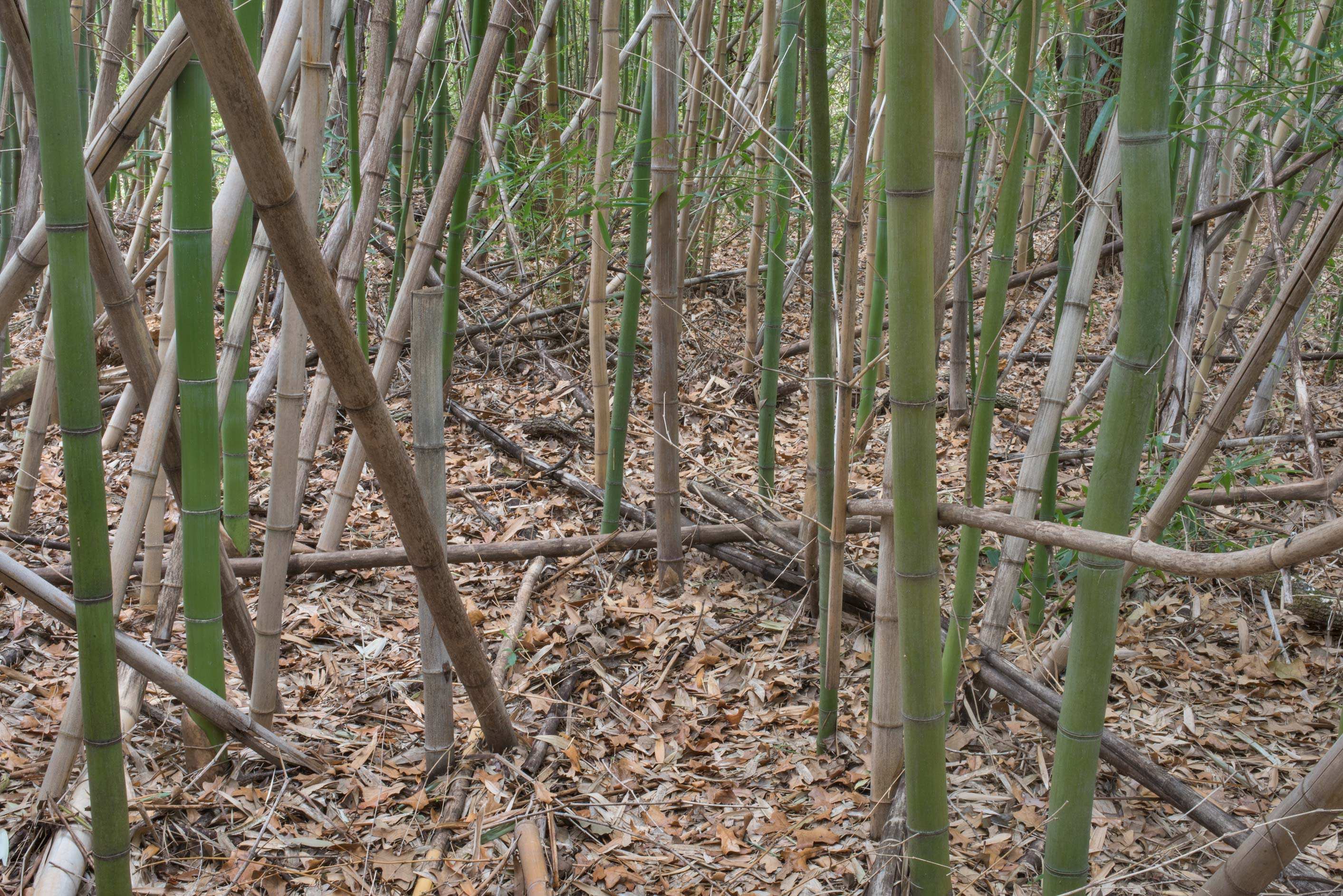 Bamboo forest along a creek on Kiwanis Nature Trail. College Station, Texas