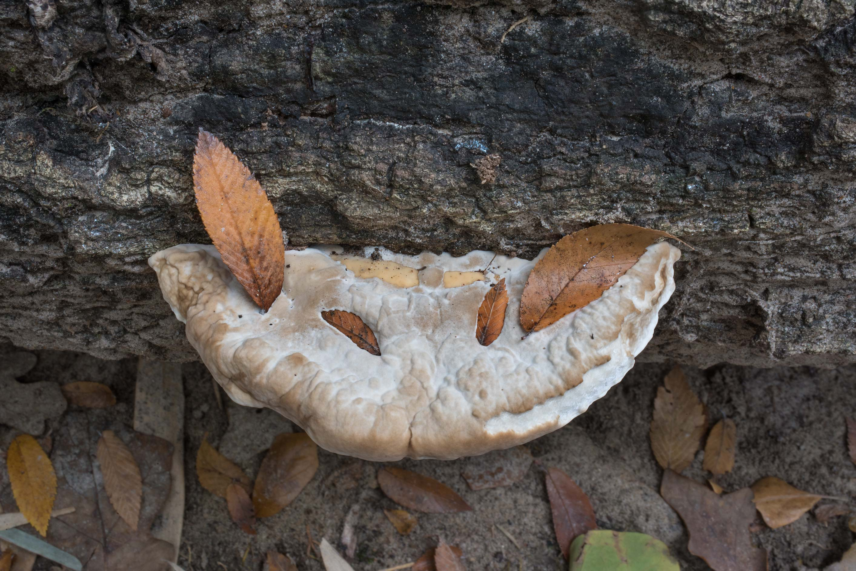 Some polypore bracket mushroom on a log near a...Nature Trail. College Station, Texas