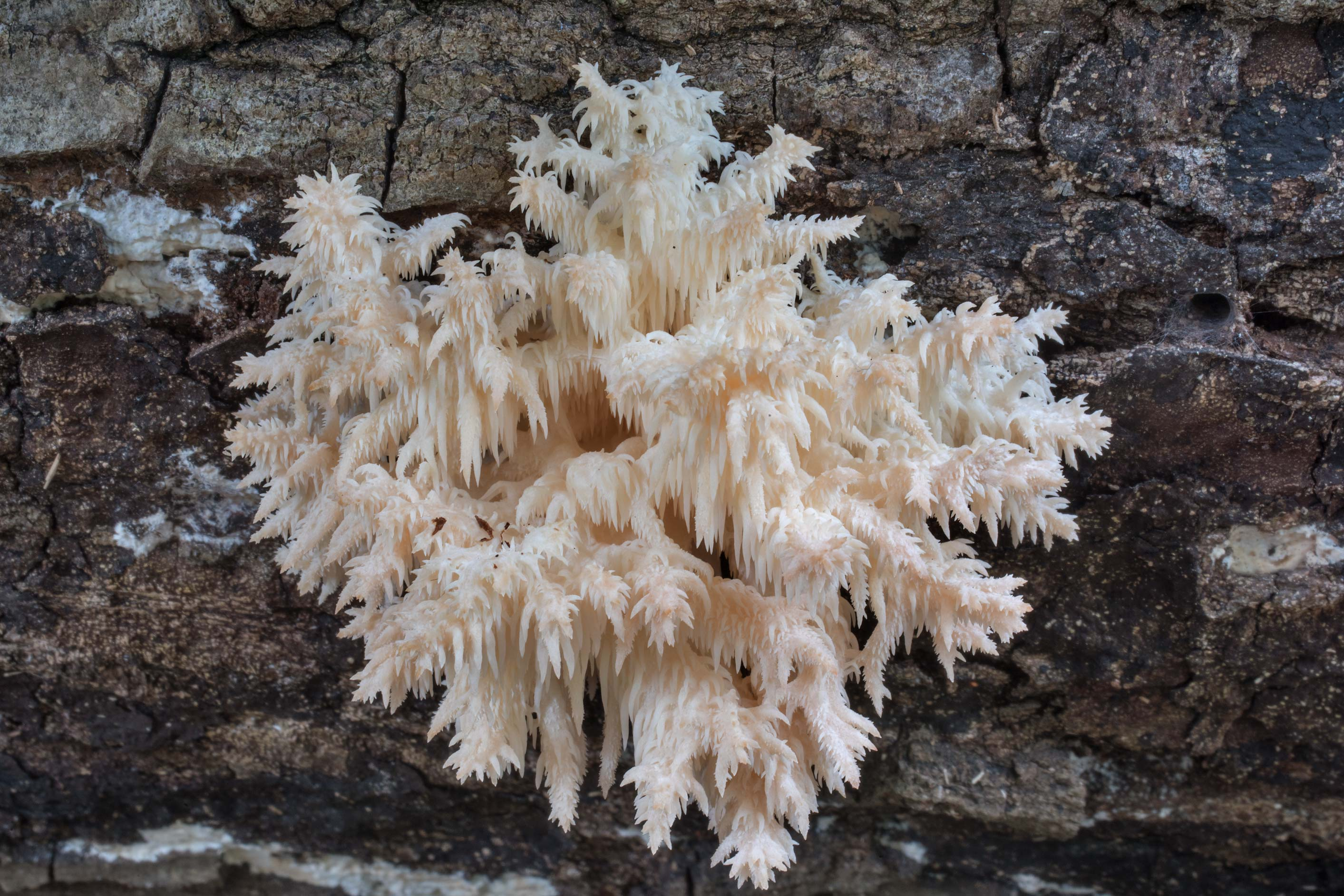 Coral tooth mushroom (comb tooth, Hericium...Nature Trail. College Station, Texas